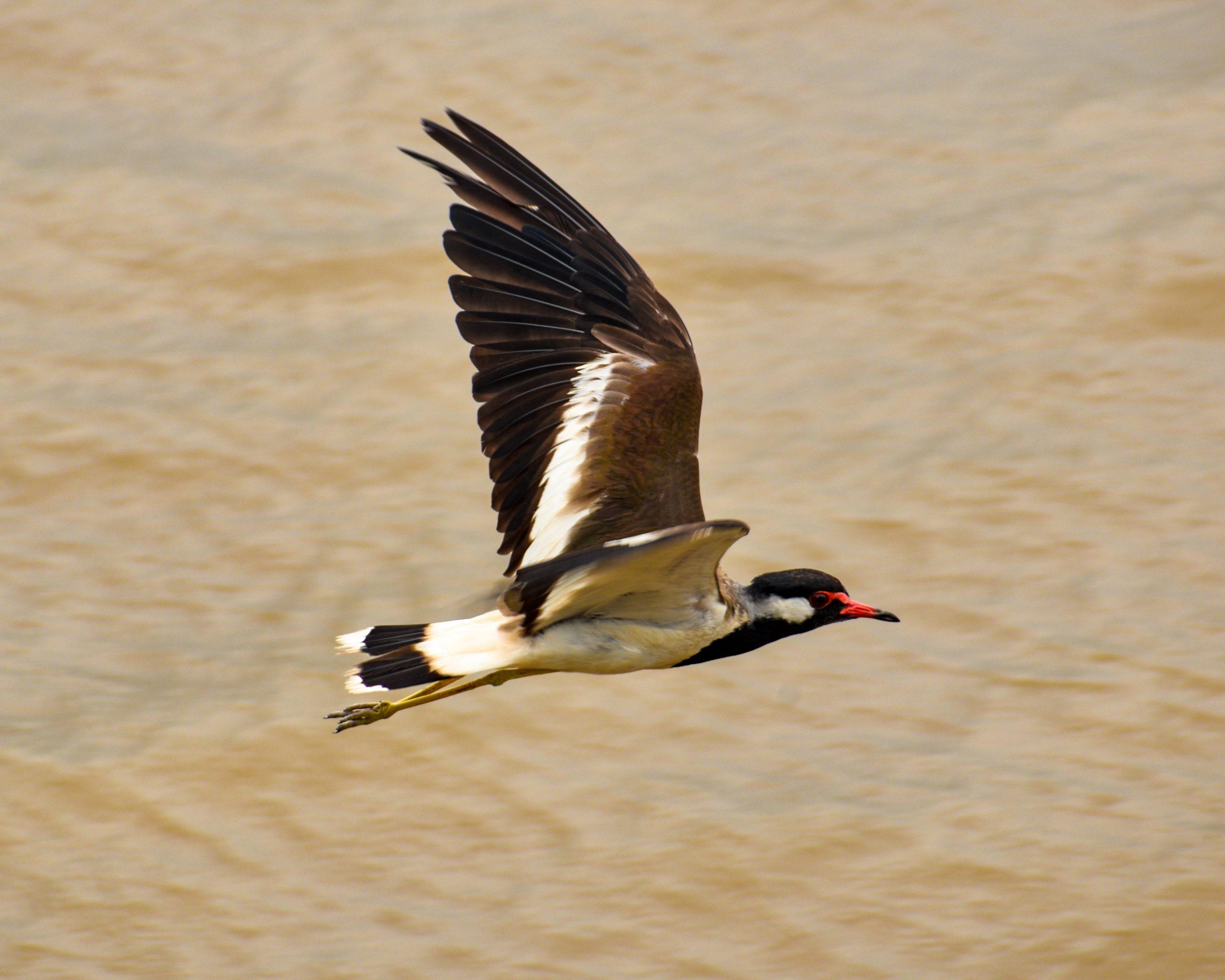 Red-wattled lapwing taking flight.
