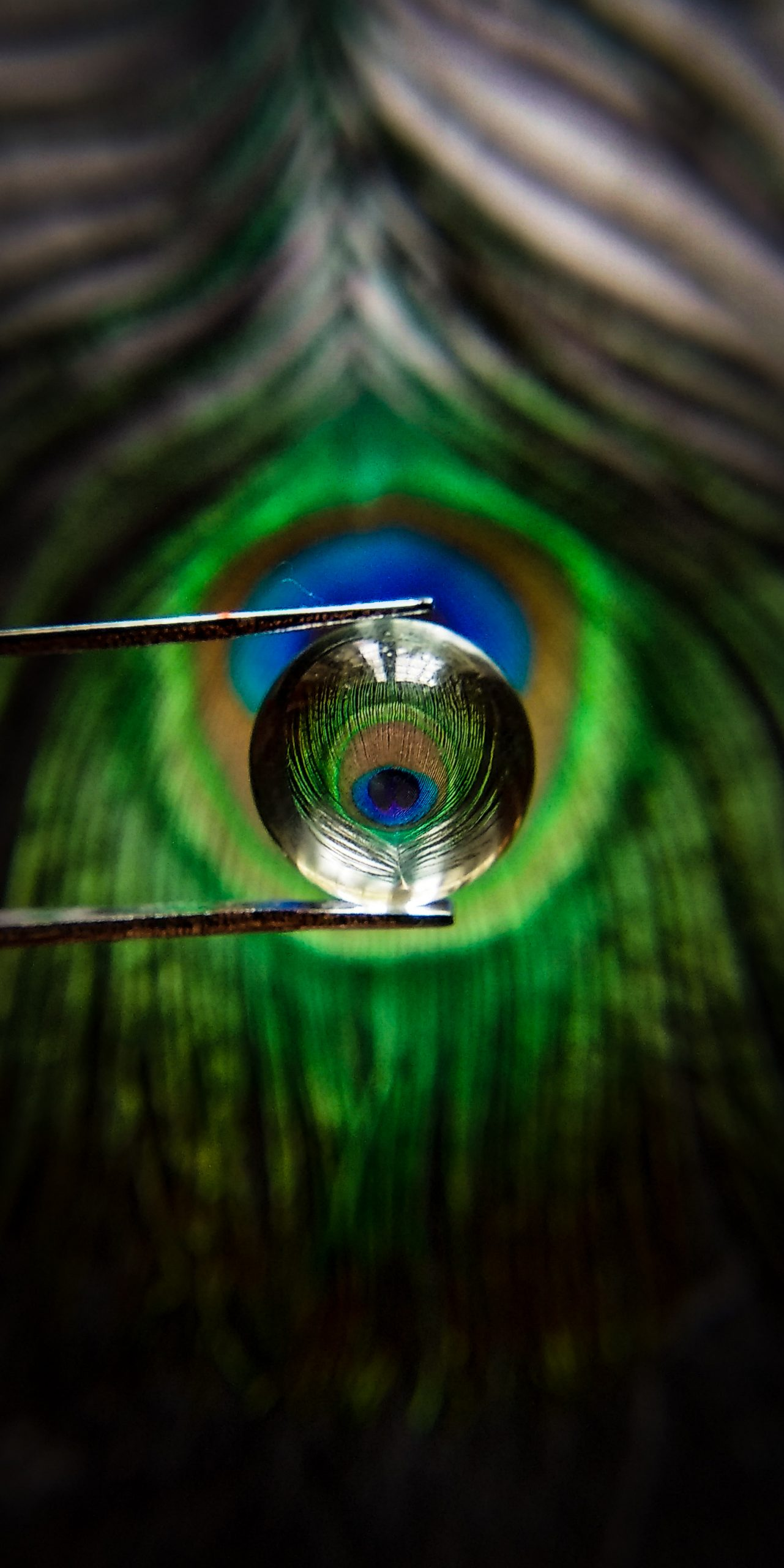 Reflection of a peacock feather