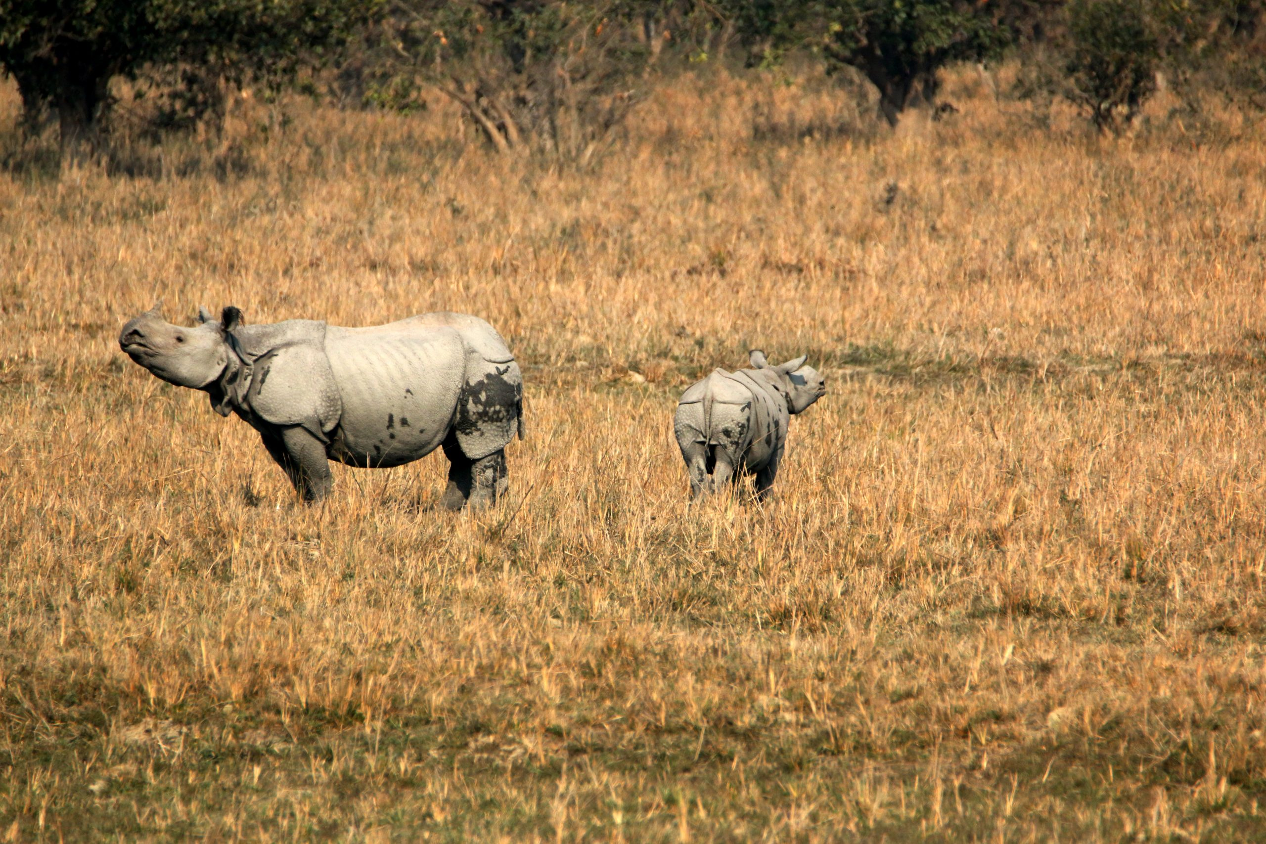 Rhinoceroses in a forest reserve