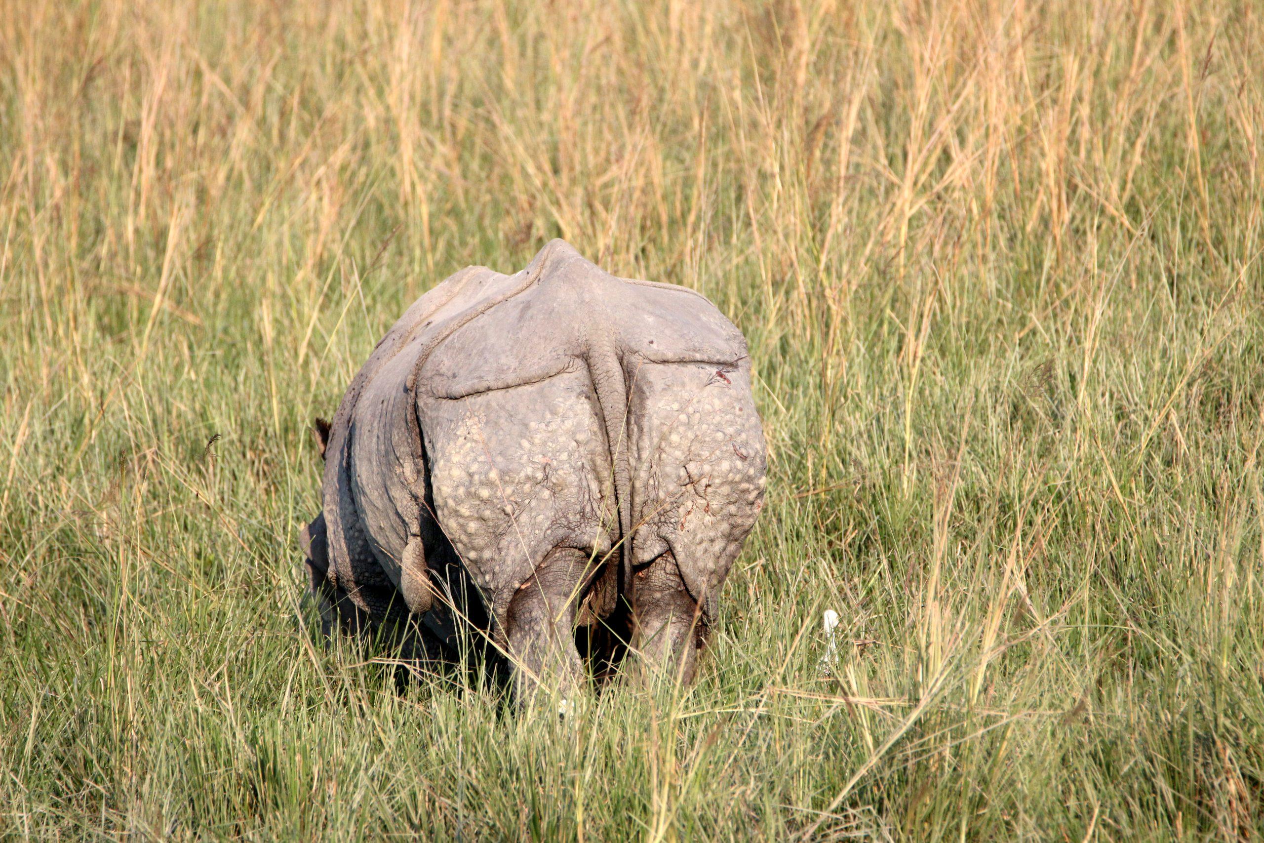 Rhino in a grass land