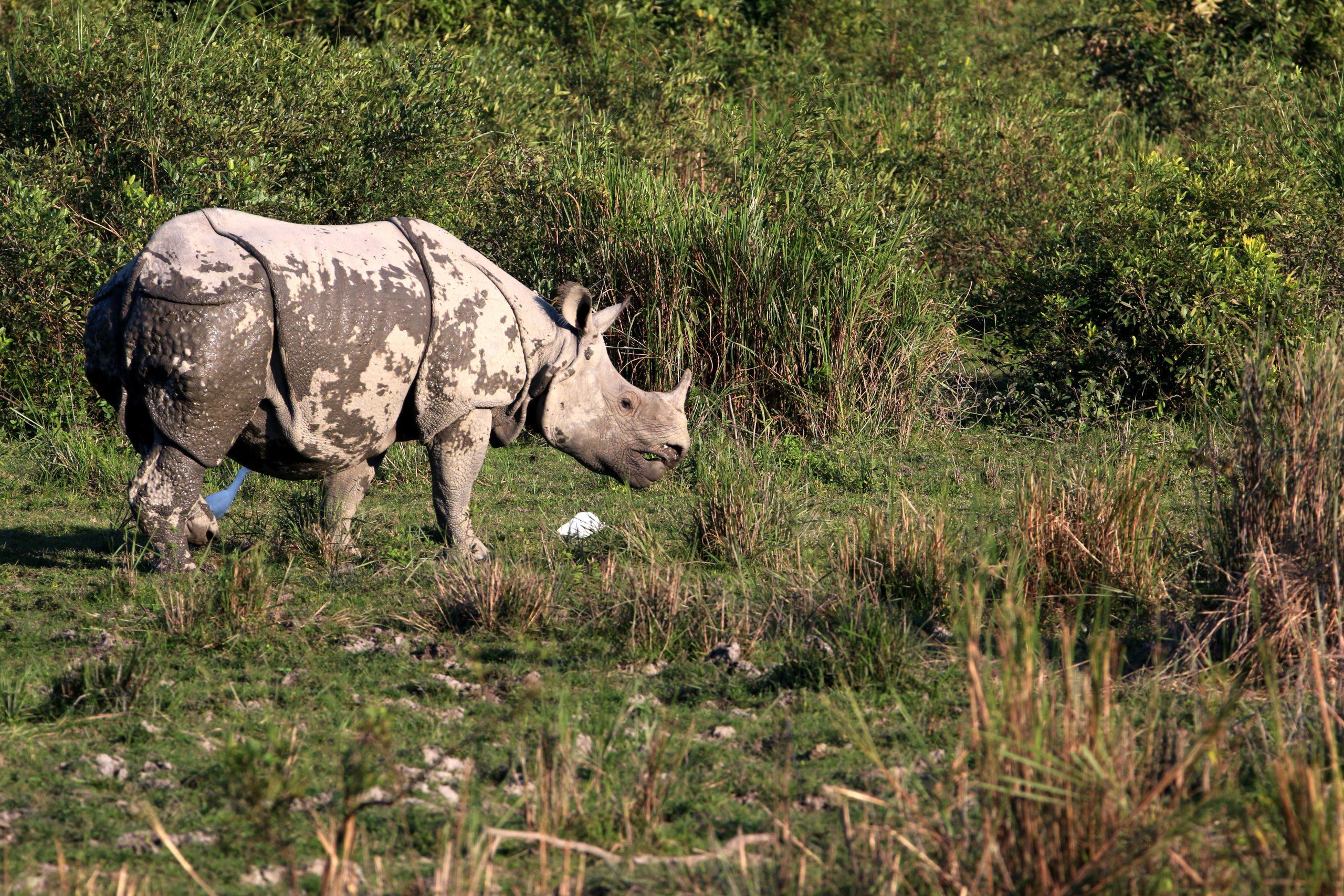 Rhino in the Wild