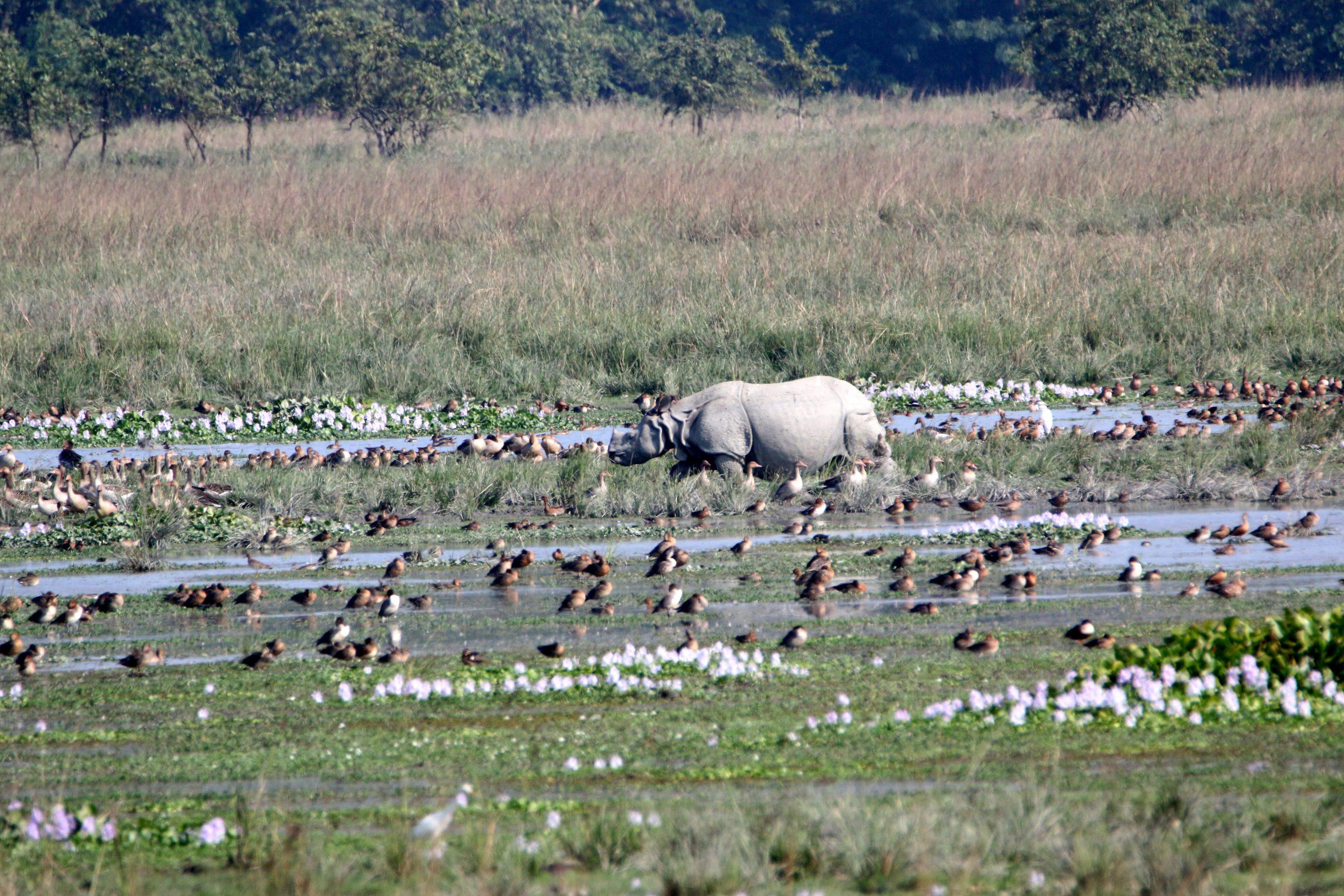 A rhino in a pond