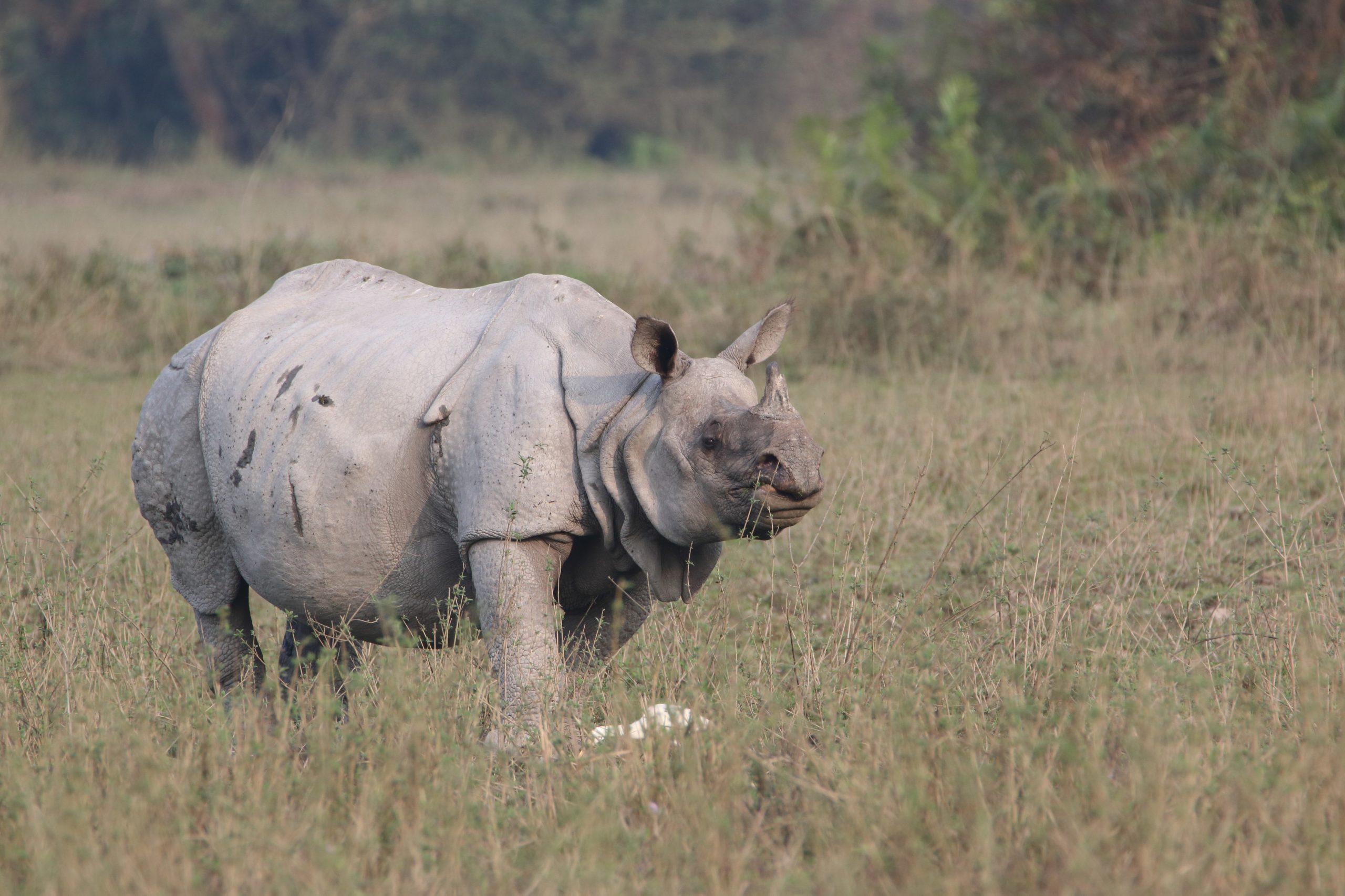 Rhinoceros Walking on the Grass