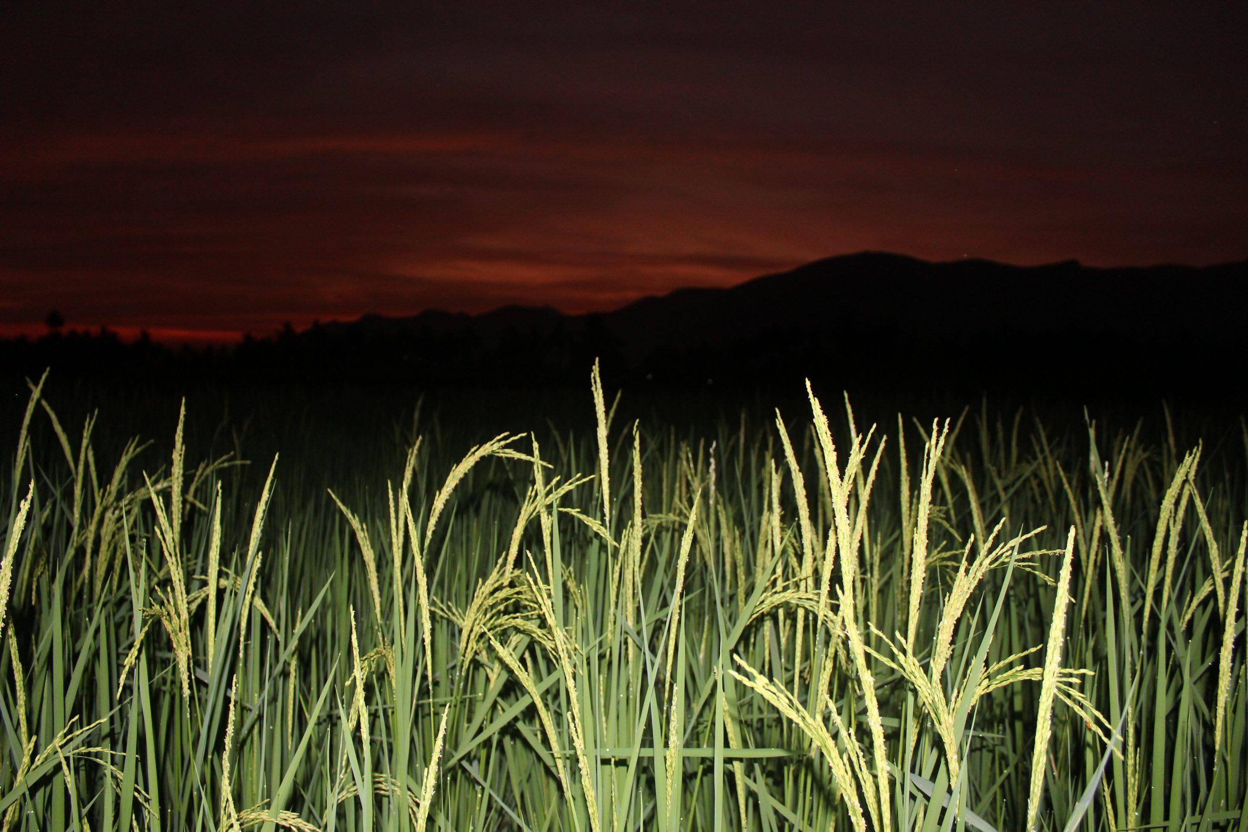 Ricefield Night View