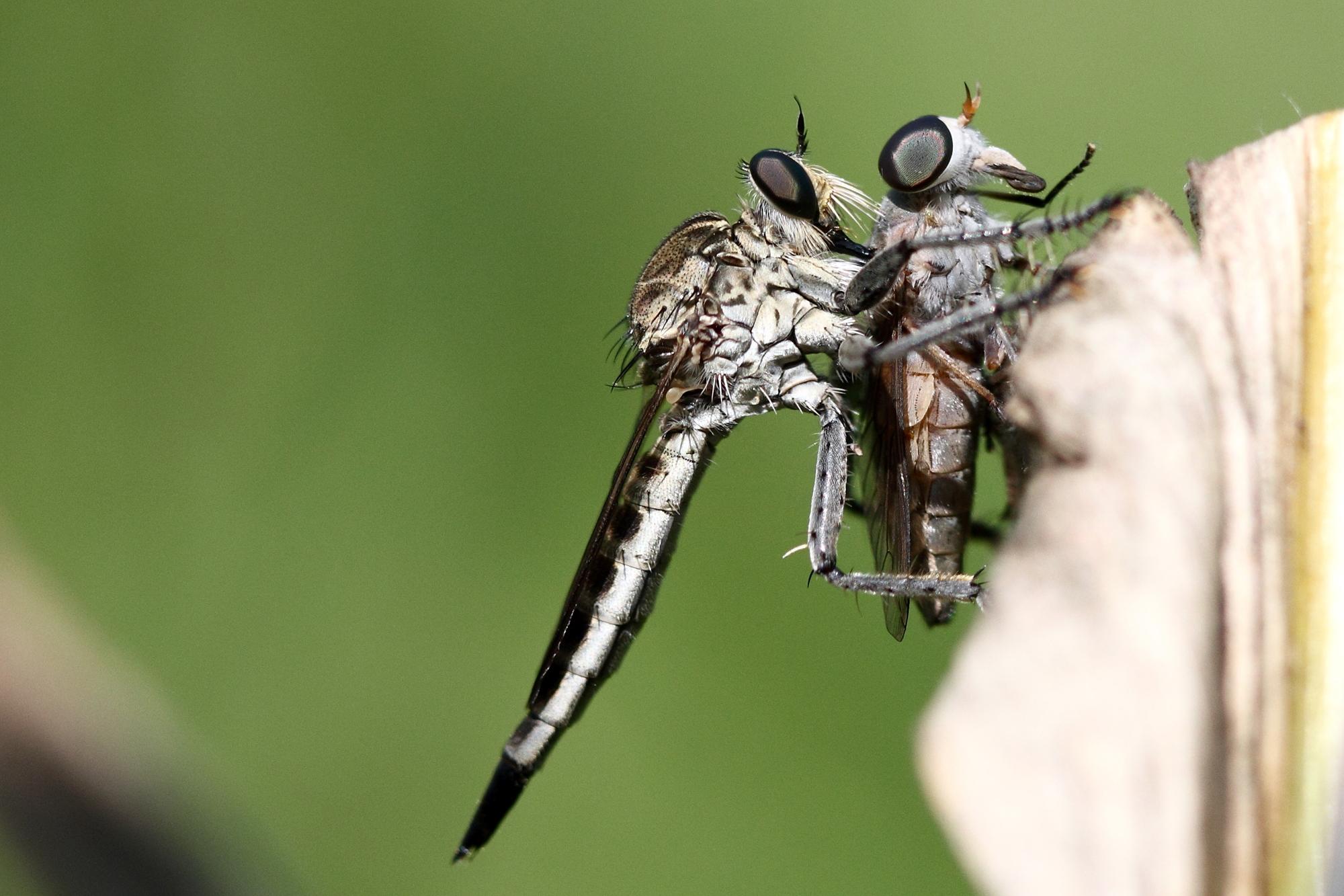 Mating Robberflies