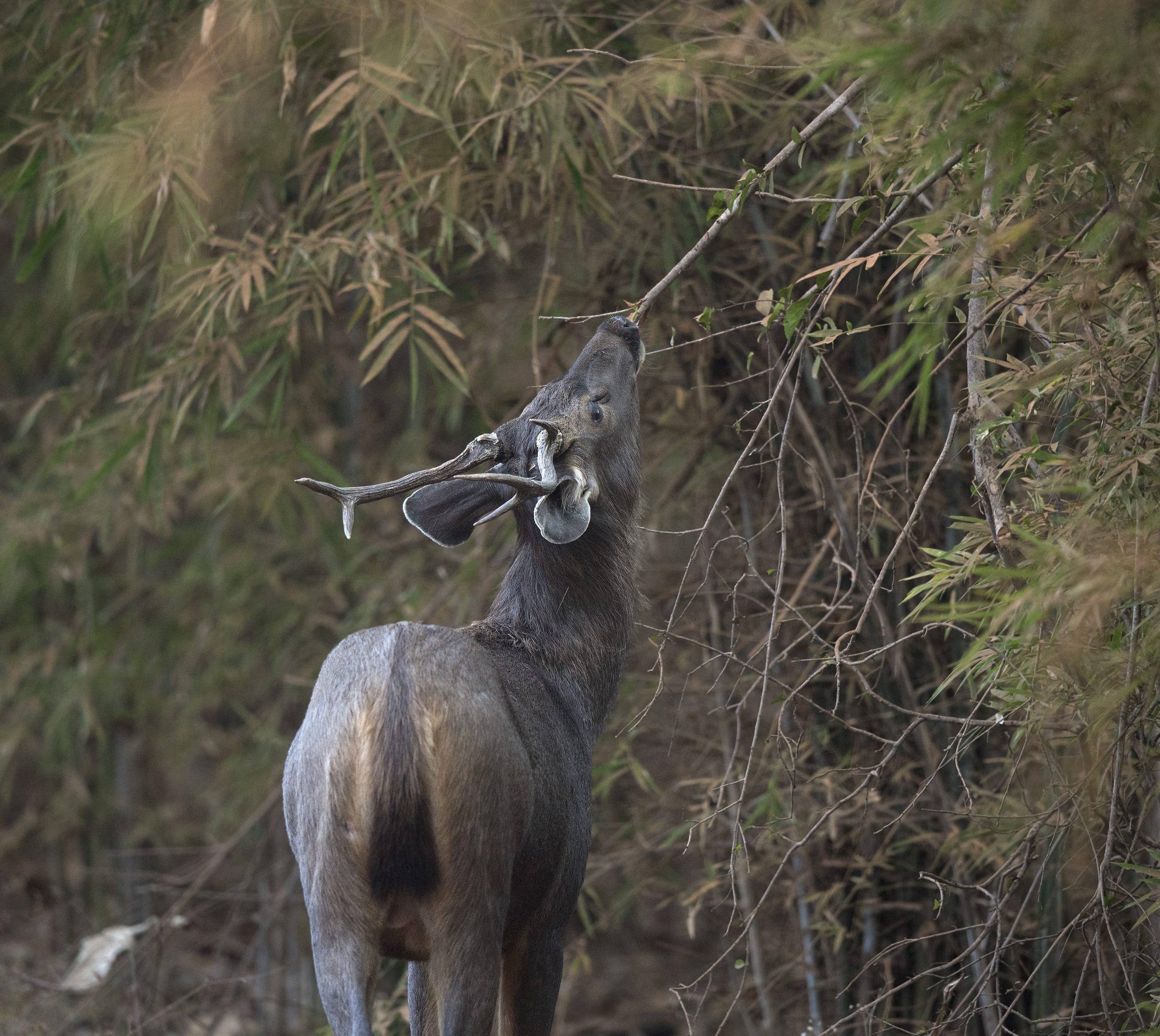Sambar deer eating a leaves
