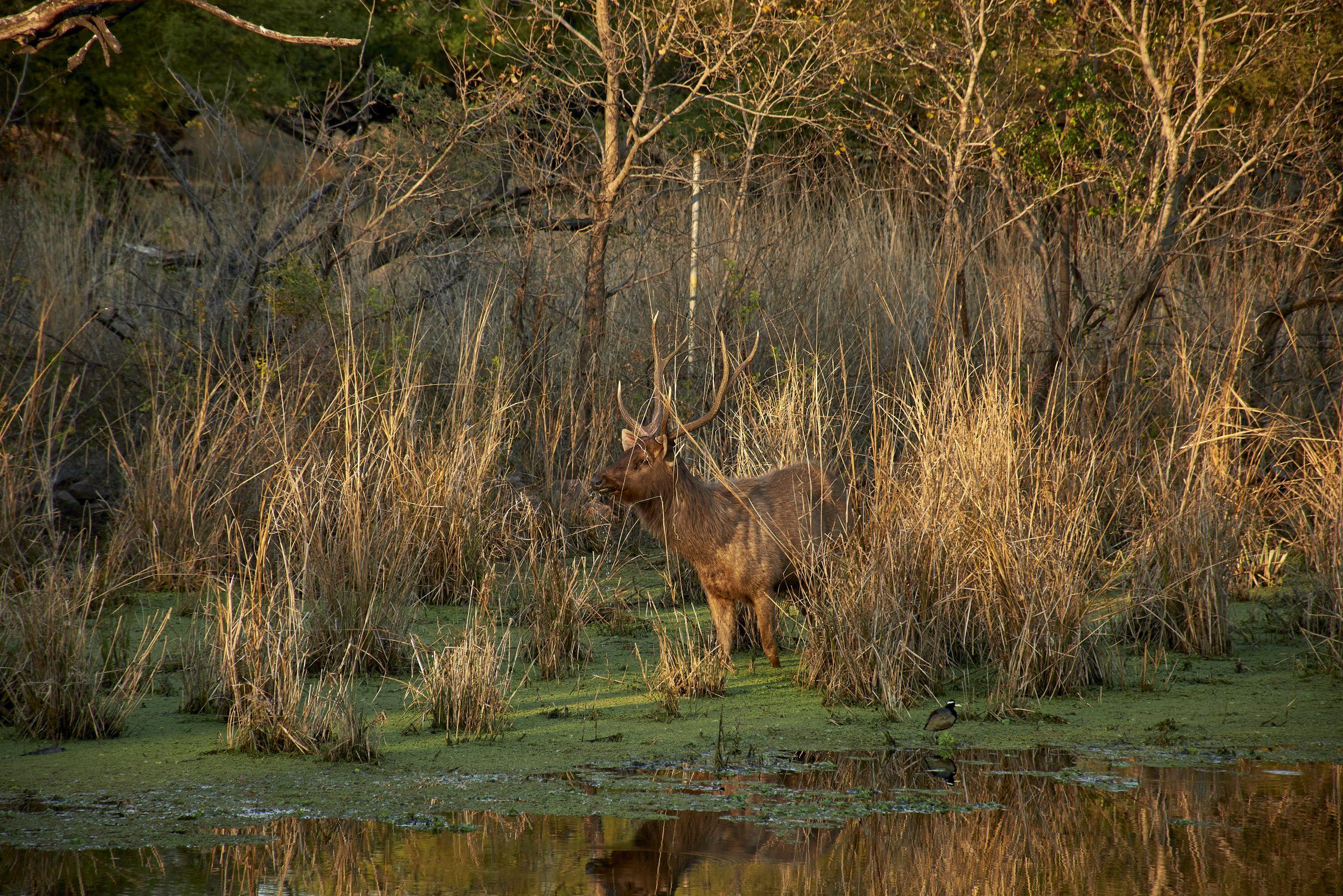 Sambar deer in swamp