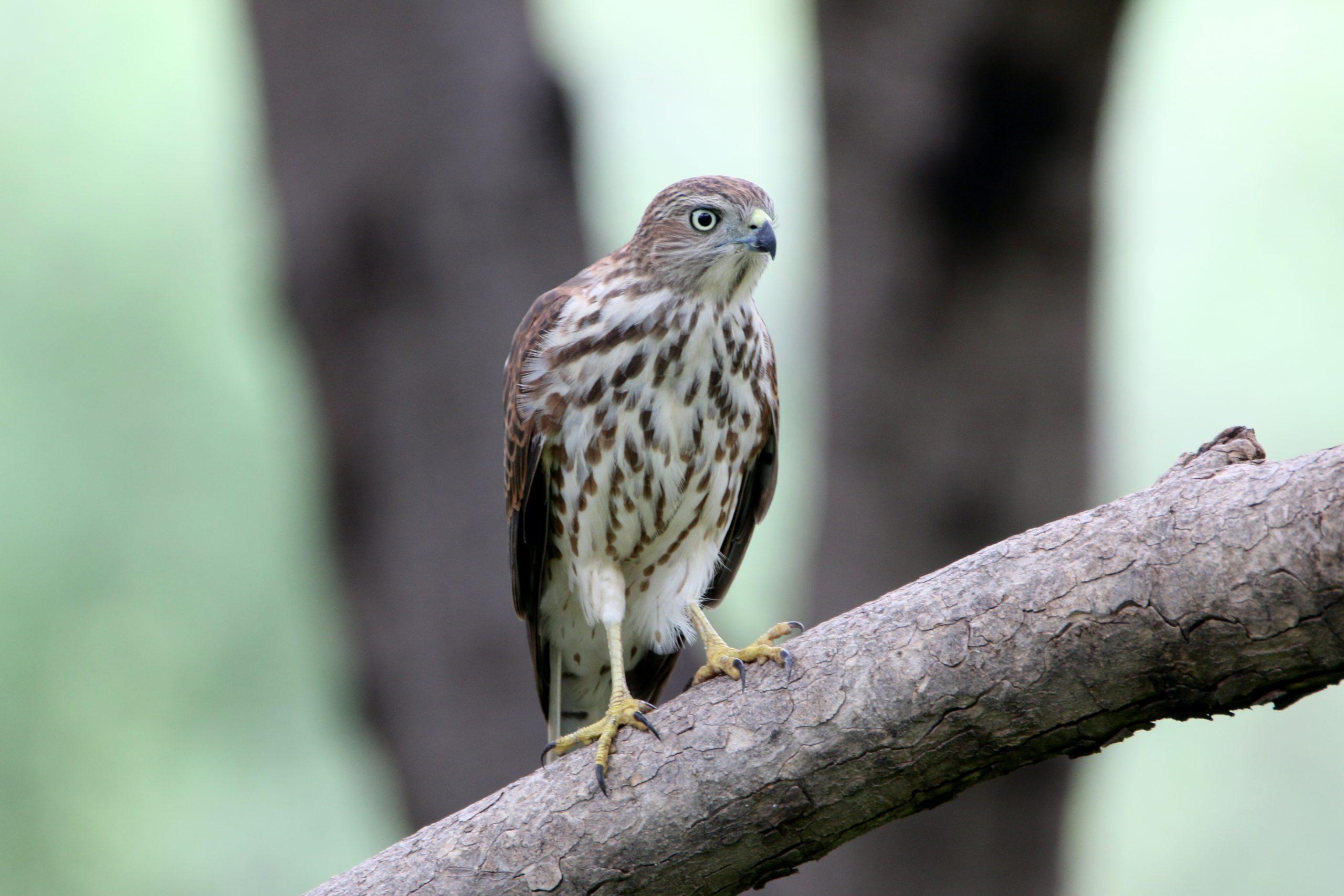 Shikra bird on a branch