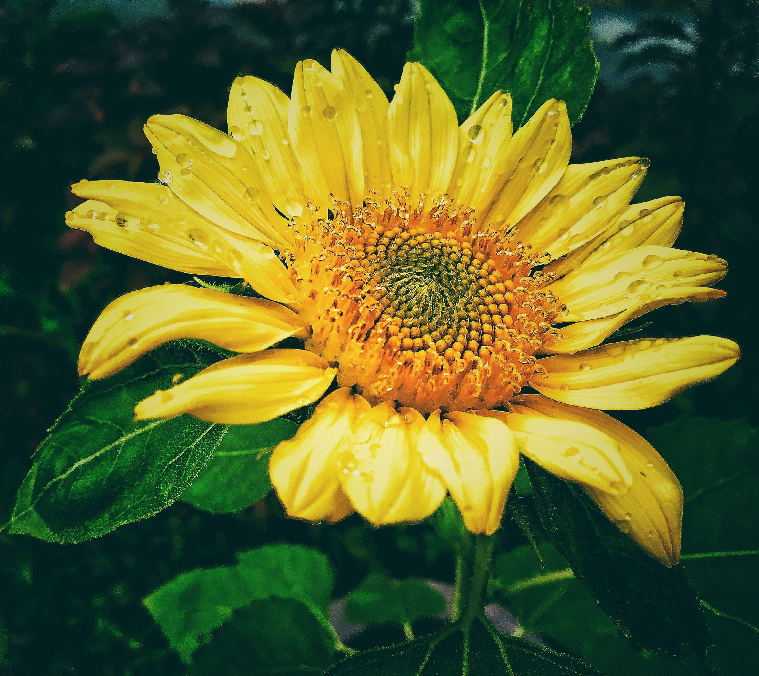 Shinning Sunflower with Droplets