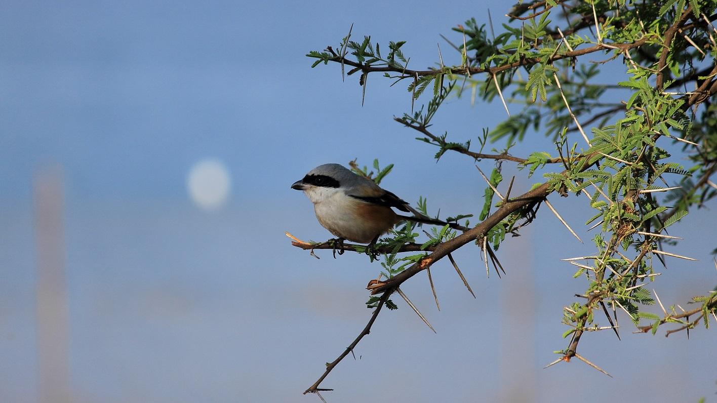 Shrike bird sitting on a branch
