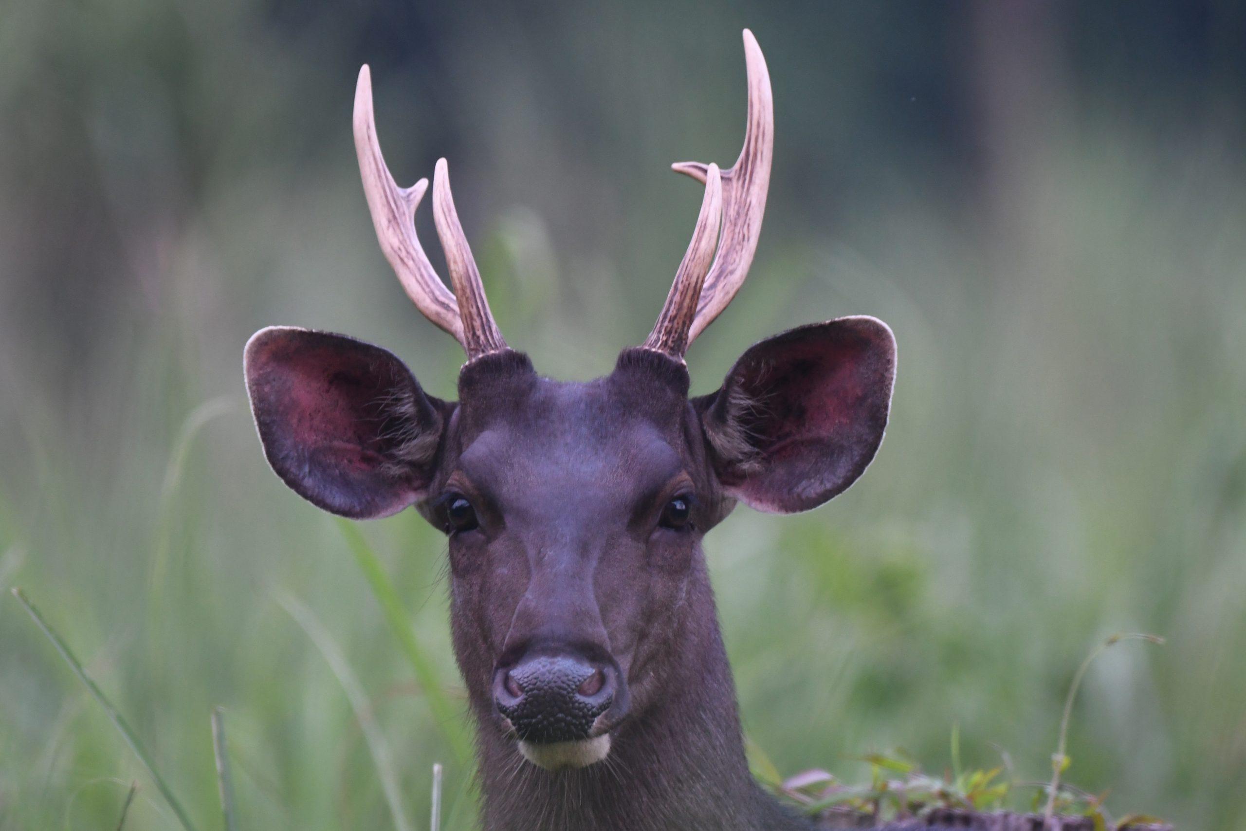 Smabar Deer