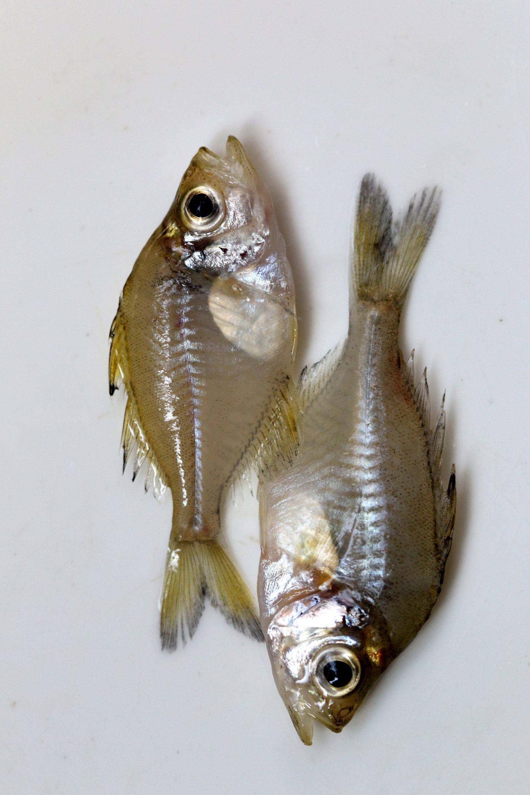 Small Fish on Focus