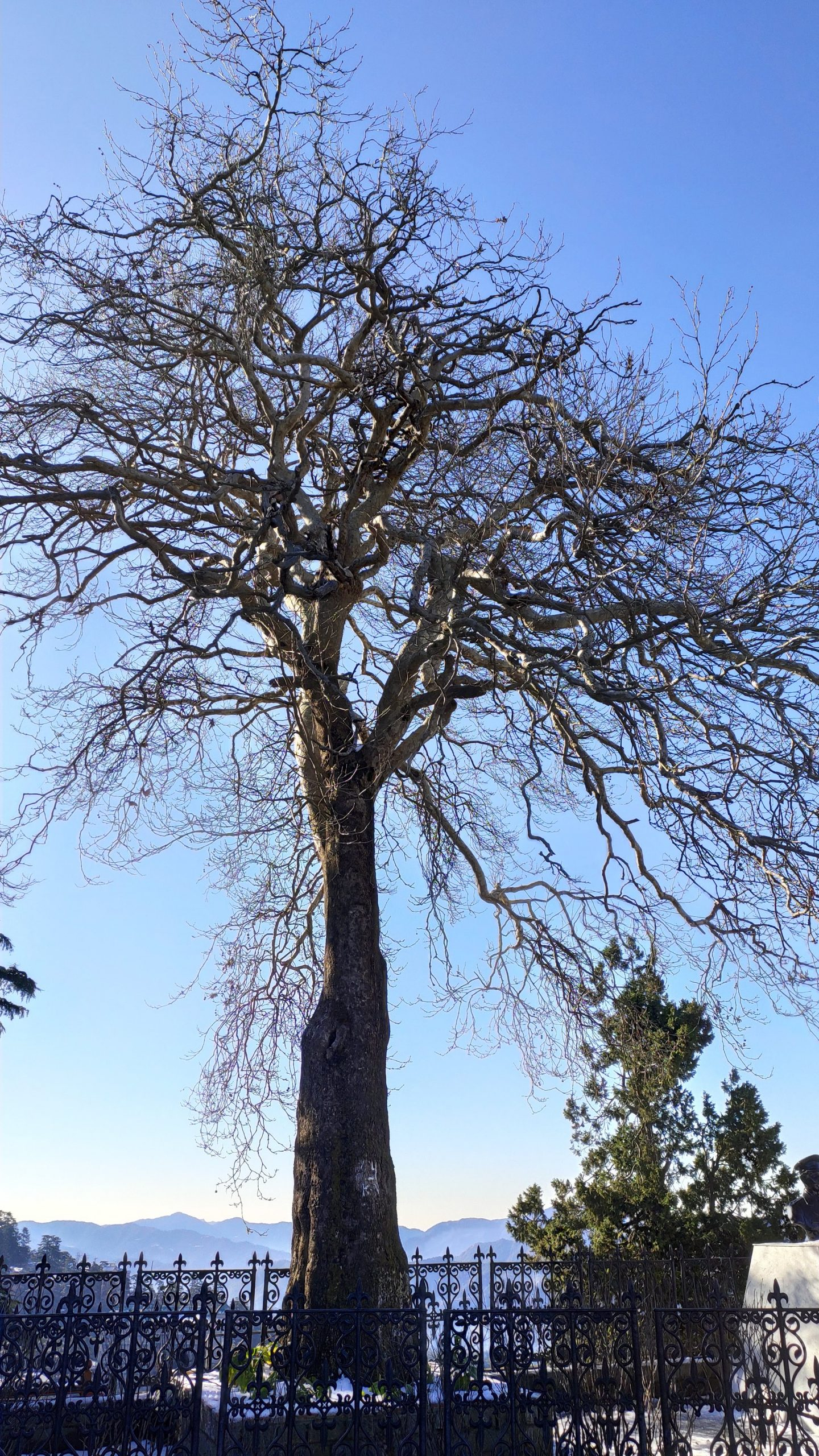 A big bare tree