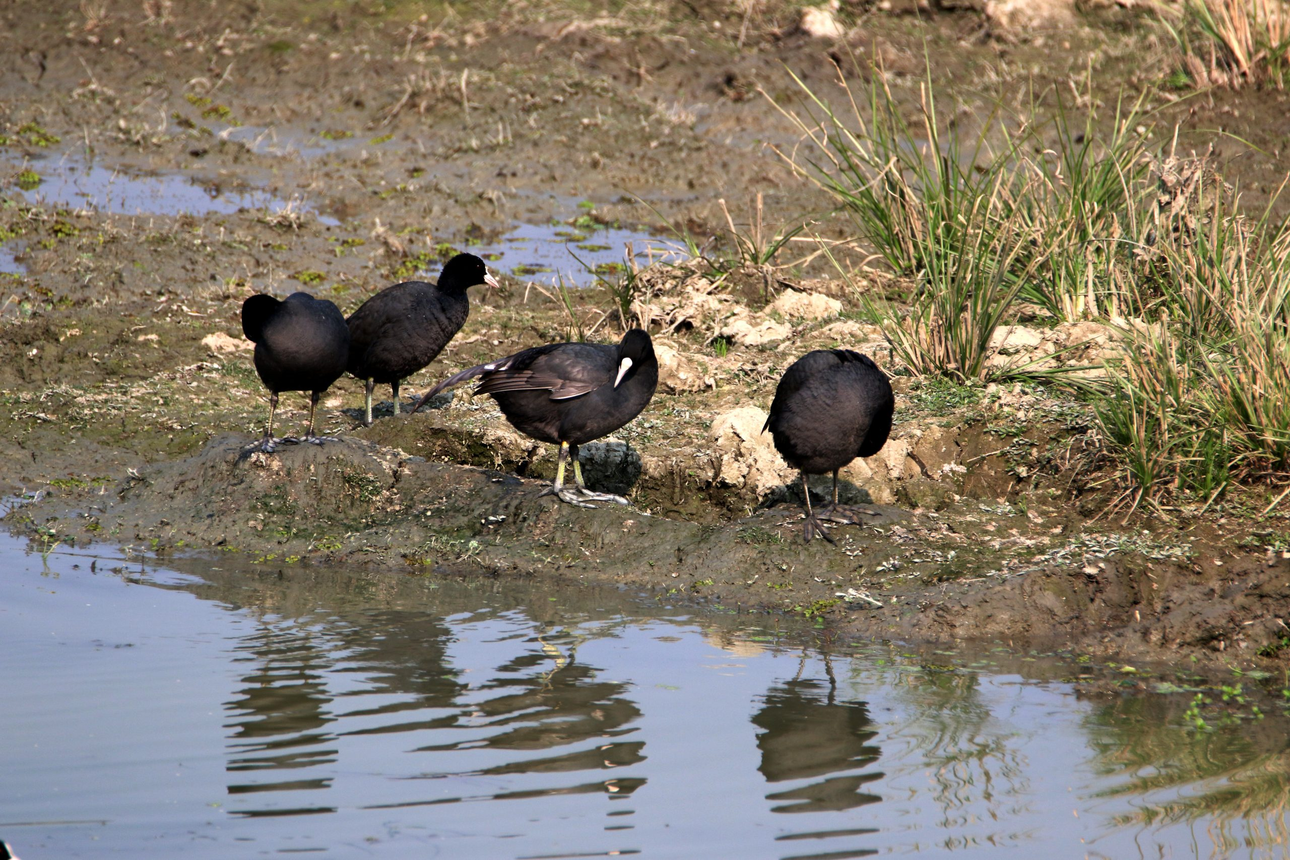 Spotted Coots Beside the River