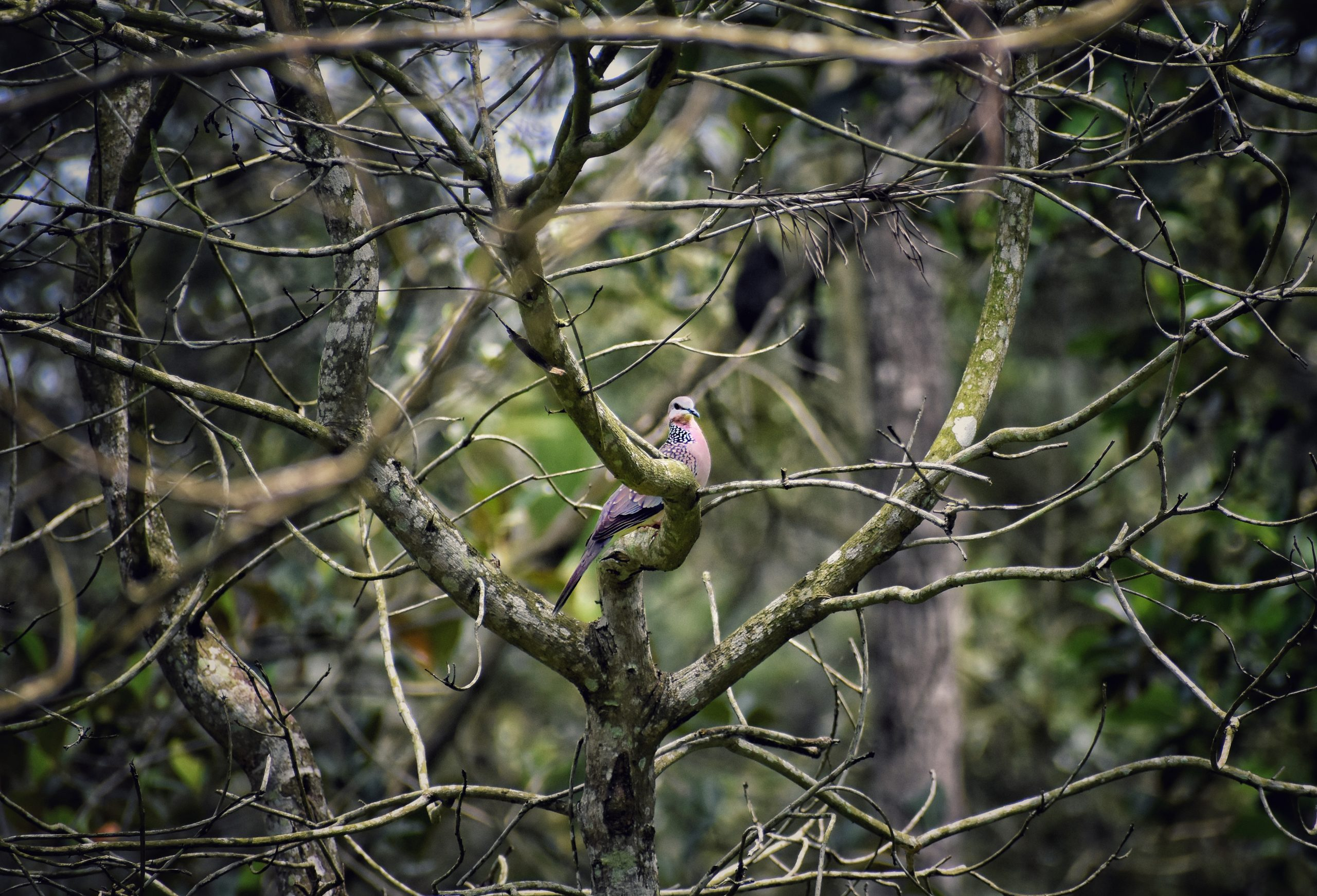 Spotted Long Tailed Pigeon