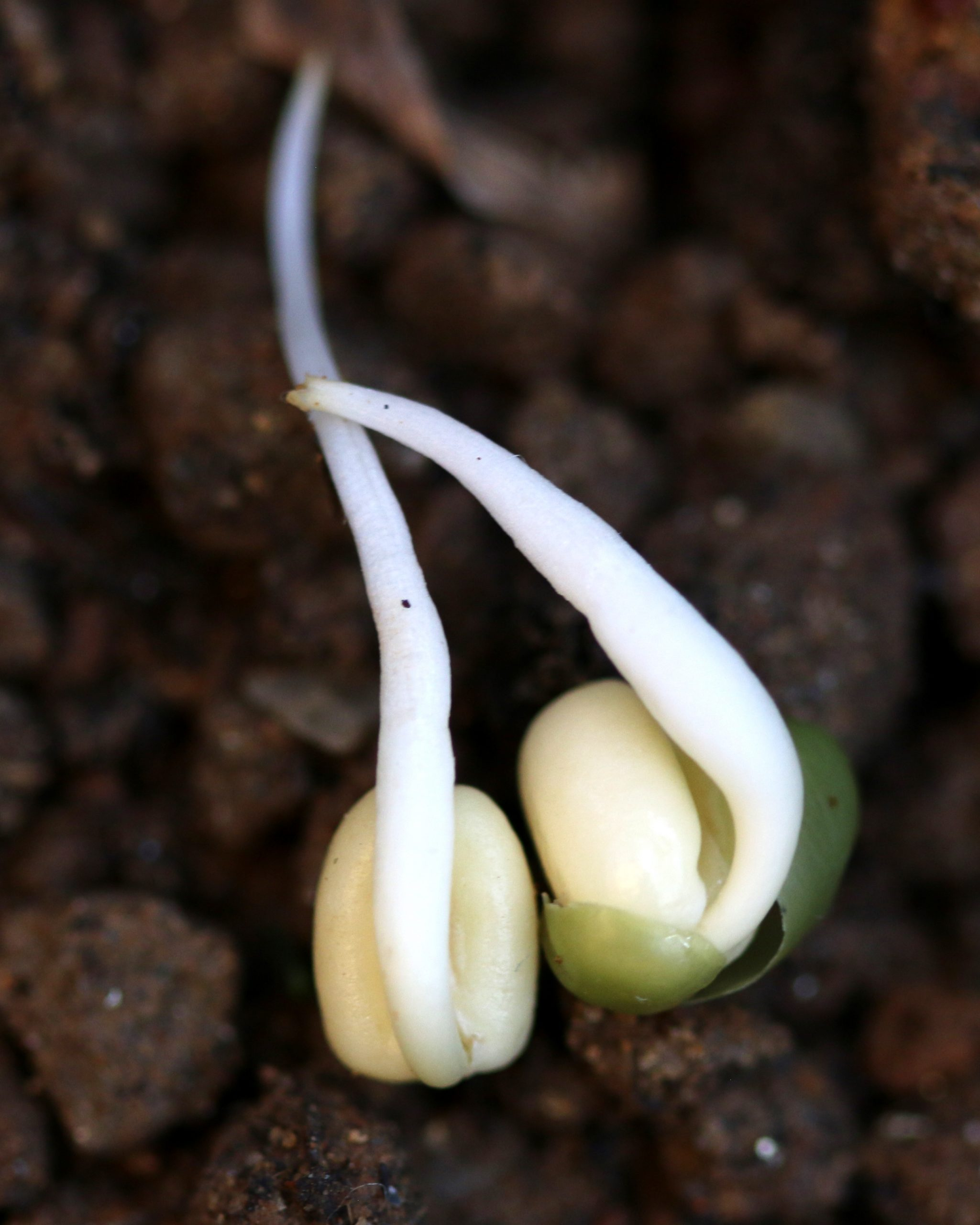 Sprouting of a seeds