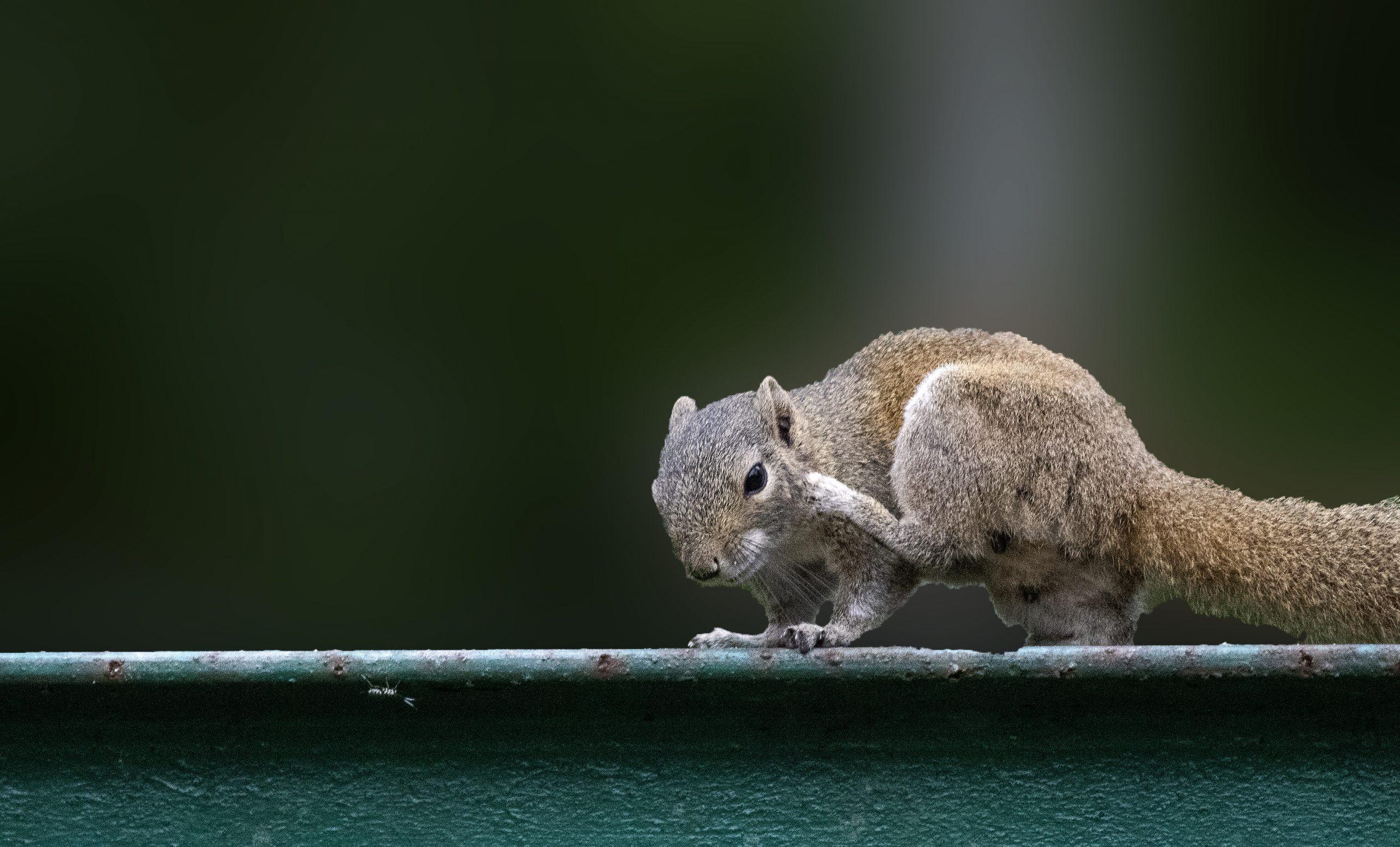 Squirrel on a metallic rod