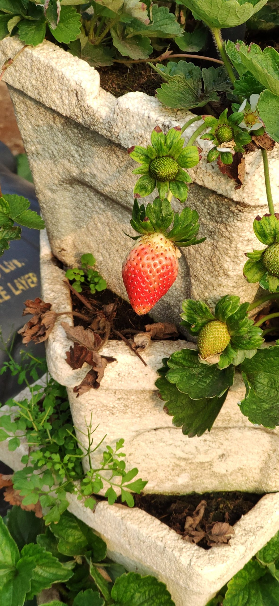 Strawberries on its plant