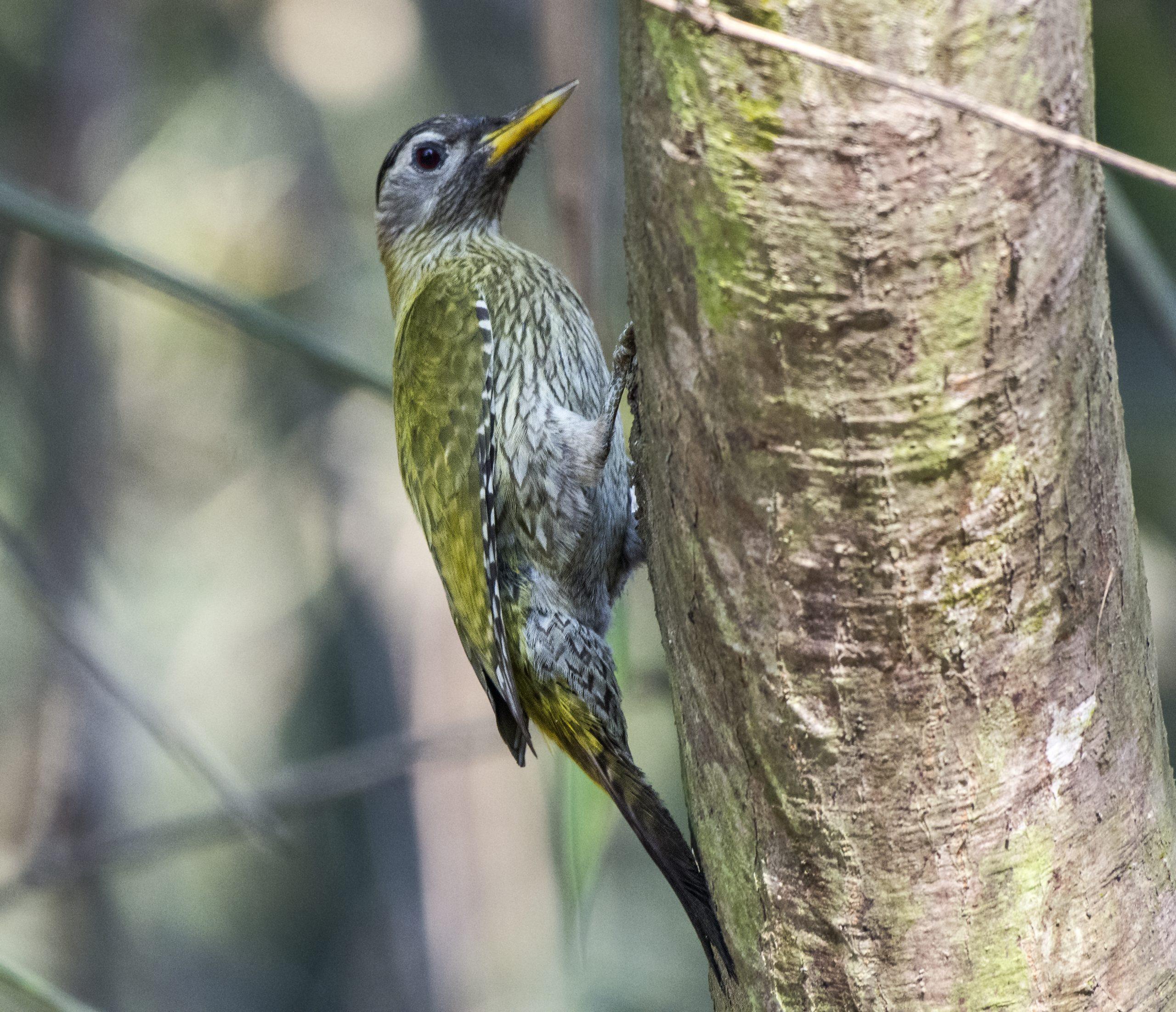 Female streak-throated woodpecker