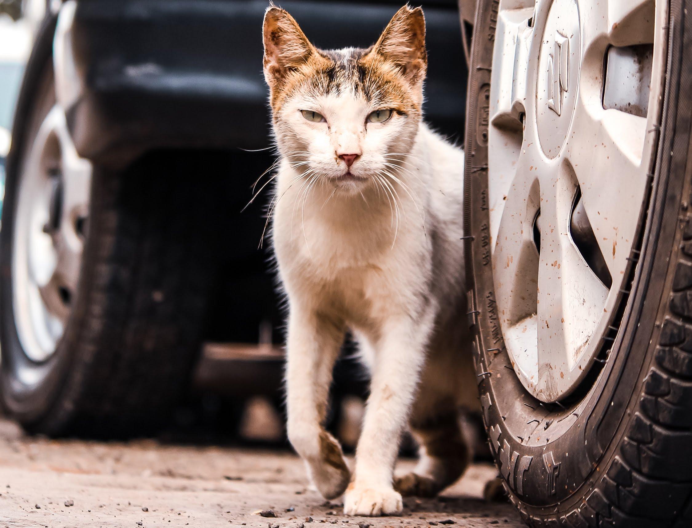 Street Cat next to a Car
