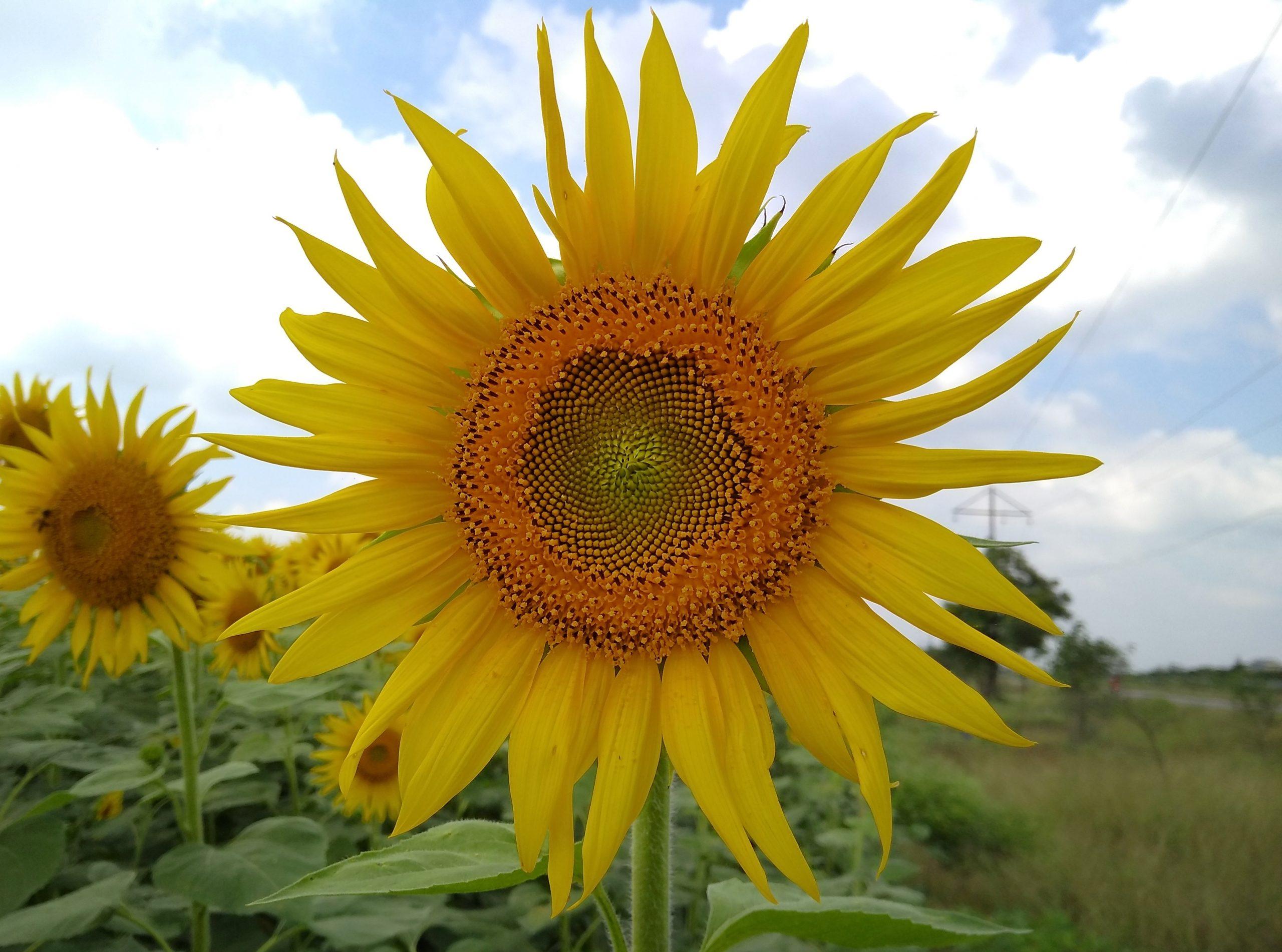 Sun Flower on Focus