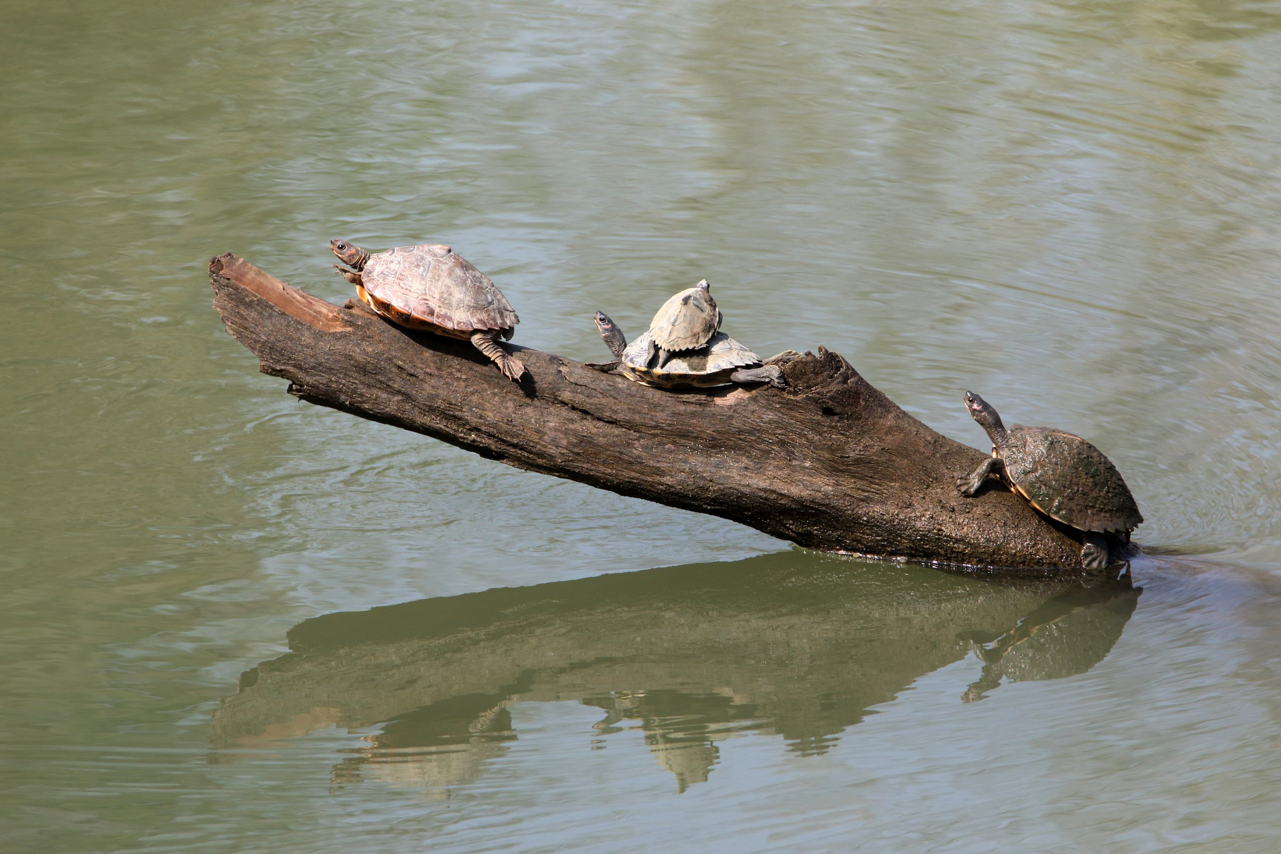 Group of turtles on a log.