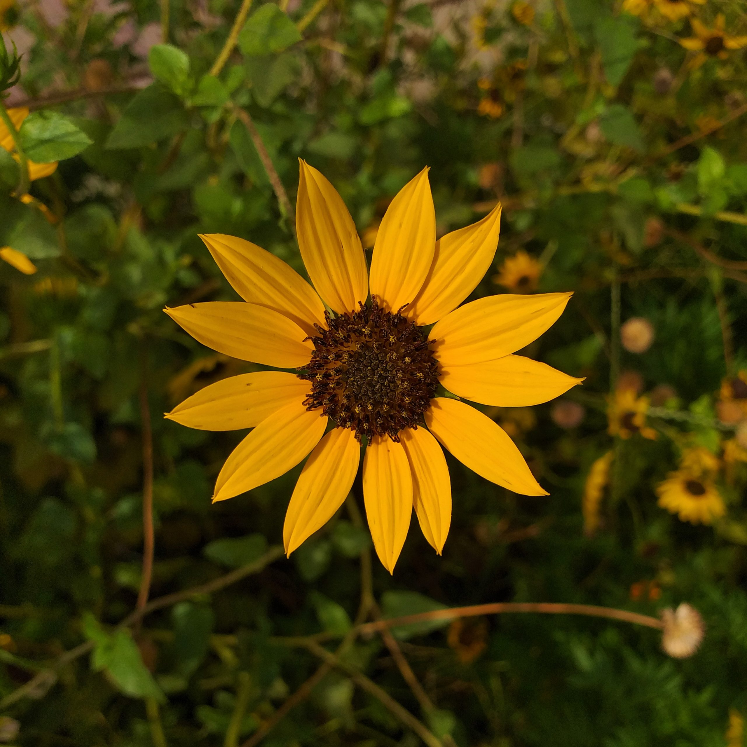 Sunflower on Focus