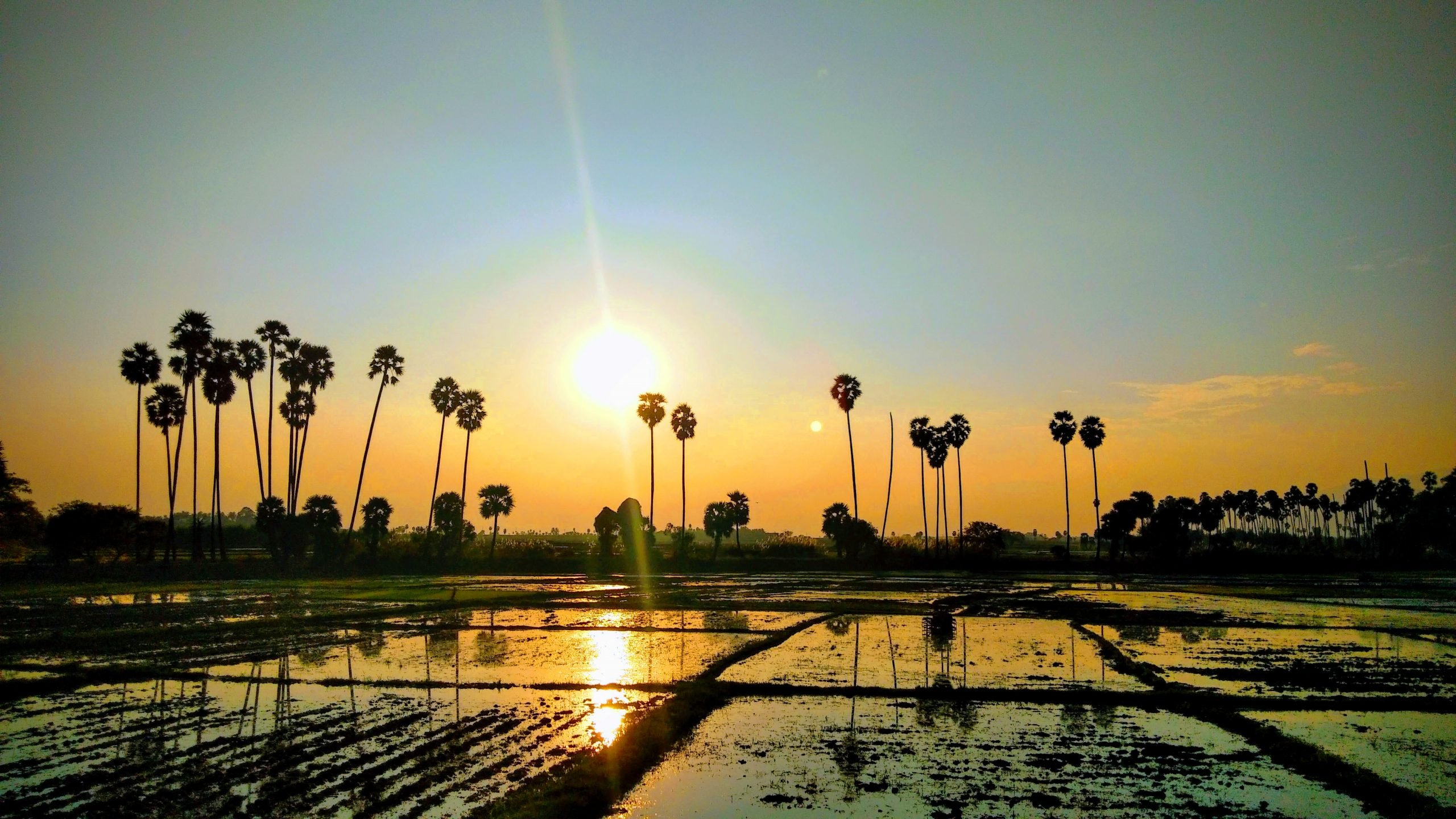 Sunrise in a Paddy Field