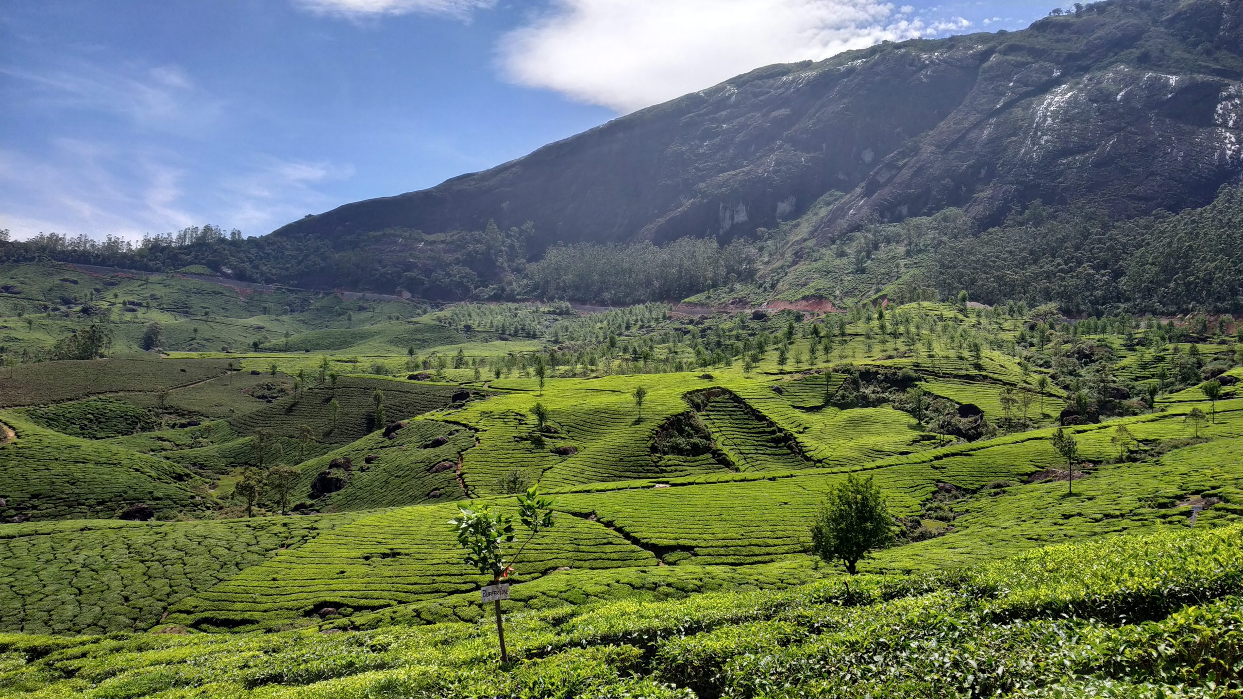 Tea Plantation in hilly area