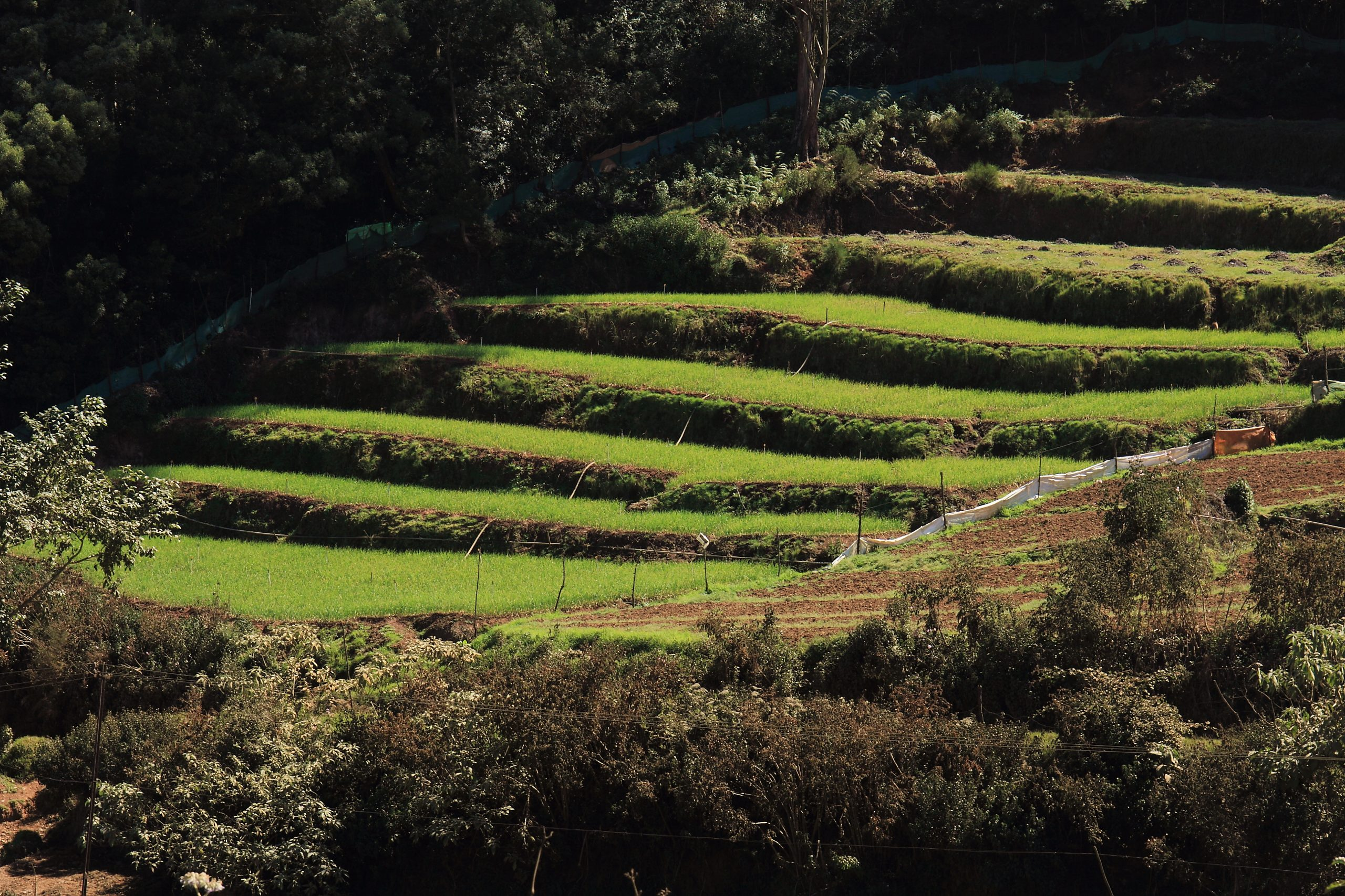 Terrace farming on Hills in Ooty, India