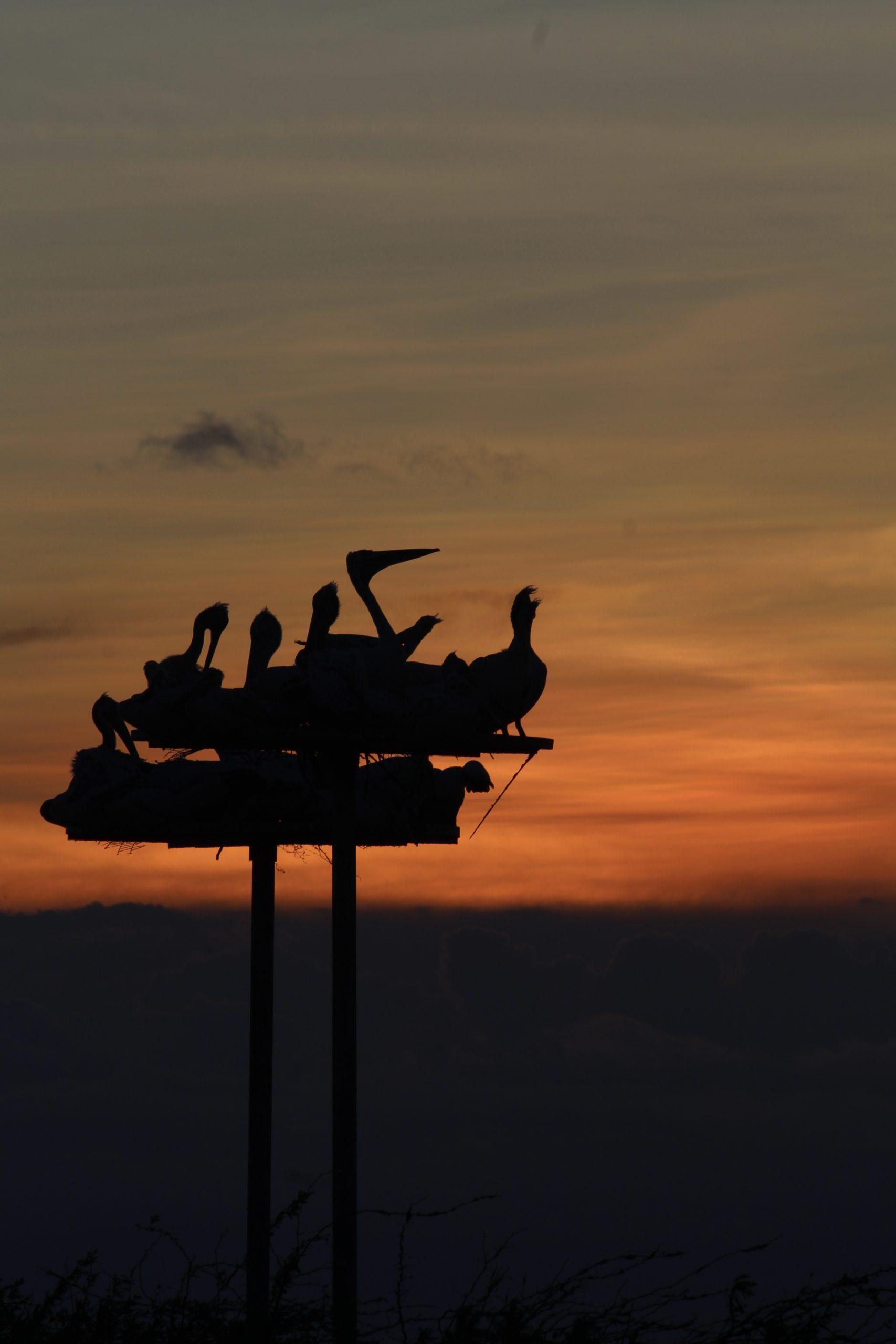 Pelicans enjoying sunset on Kolleru Lake