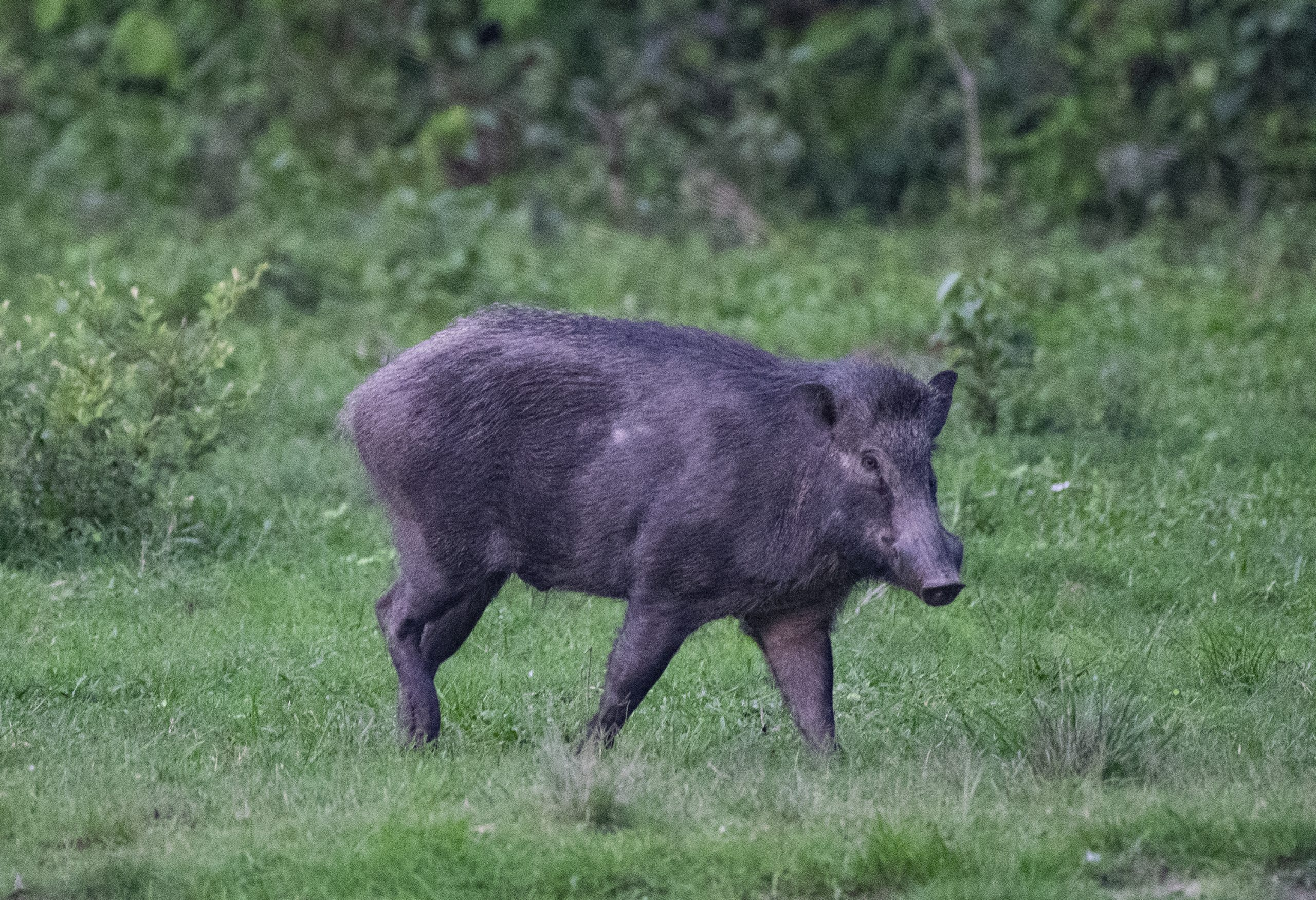 The loner wild boar