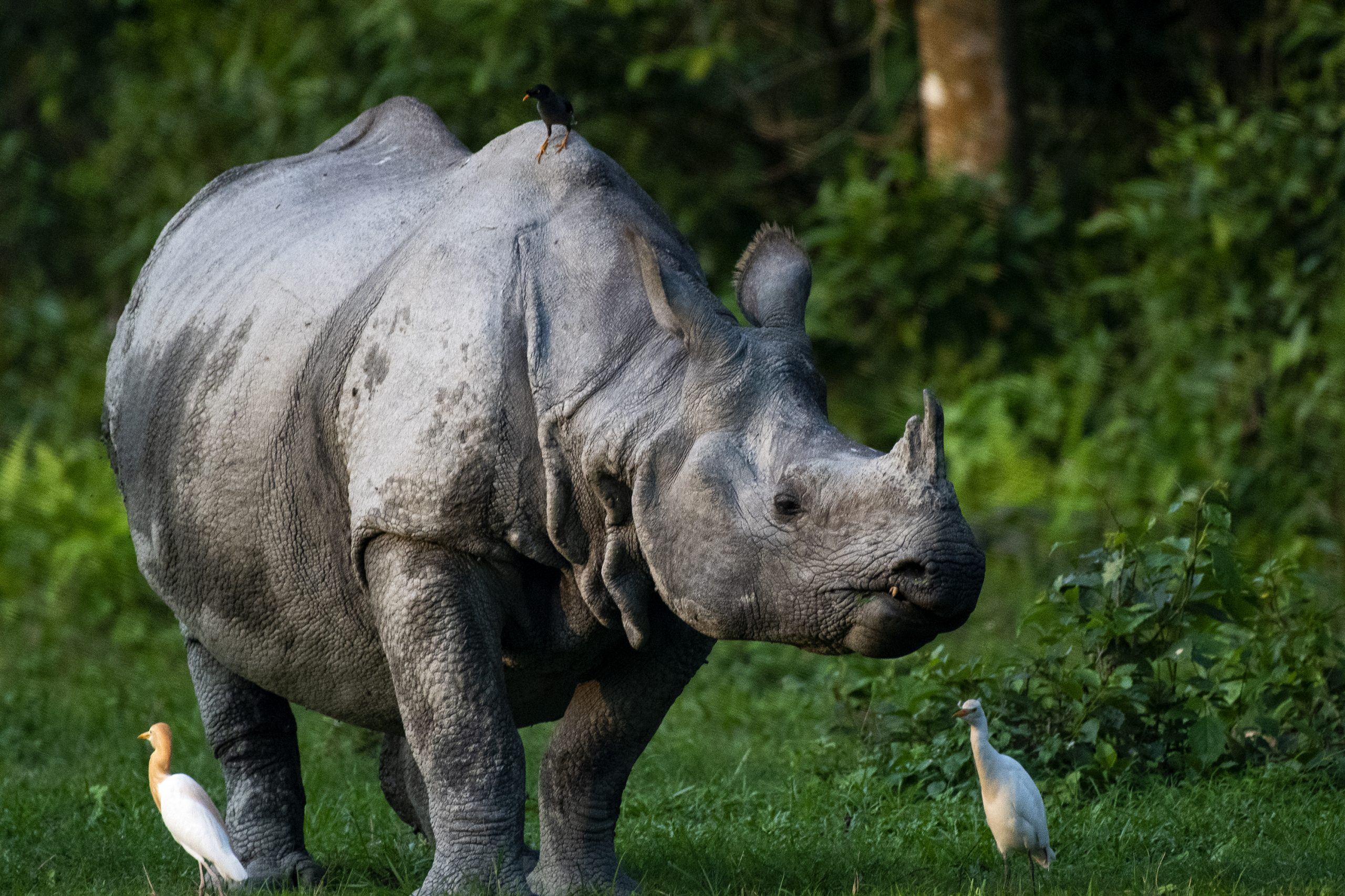 Indian Rhino hanging out with Egrets