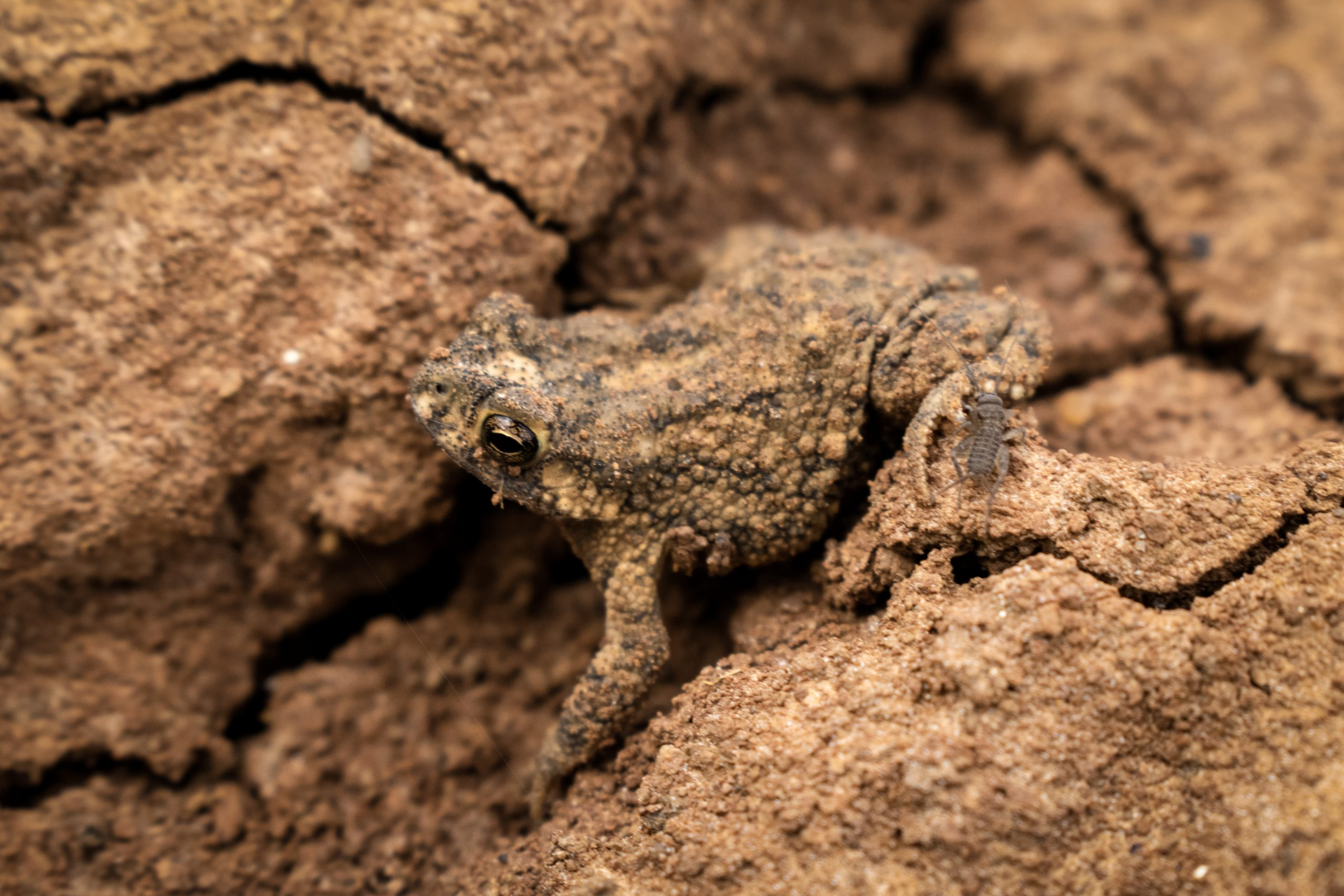 Toad in Dry Mud on Focus
