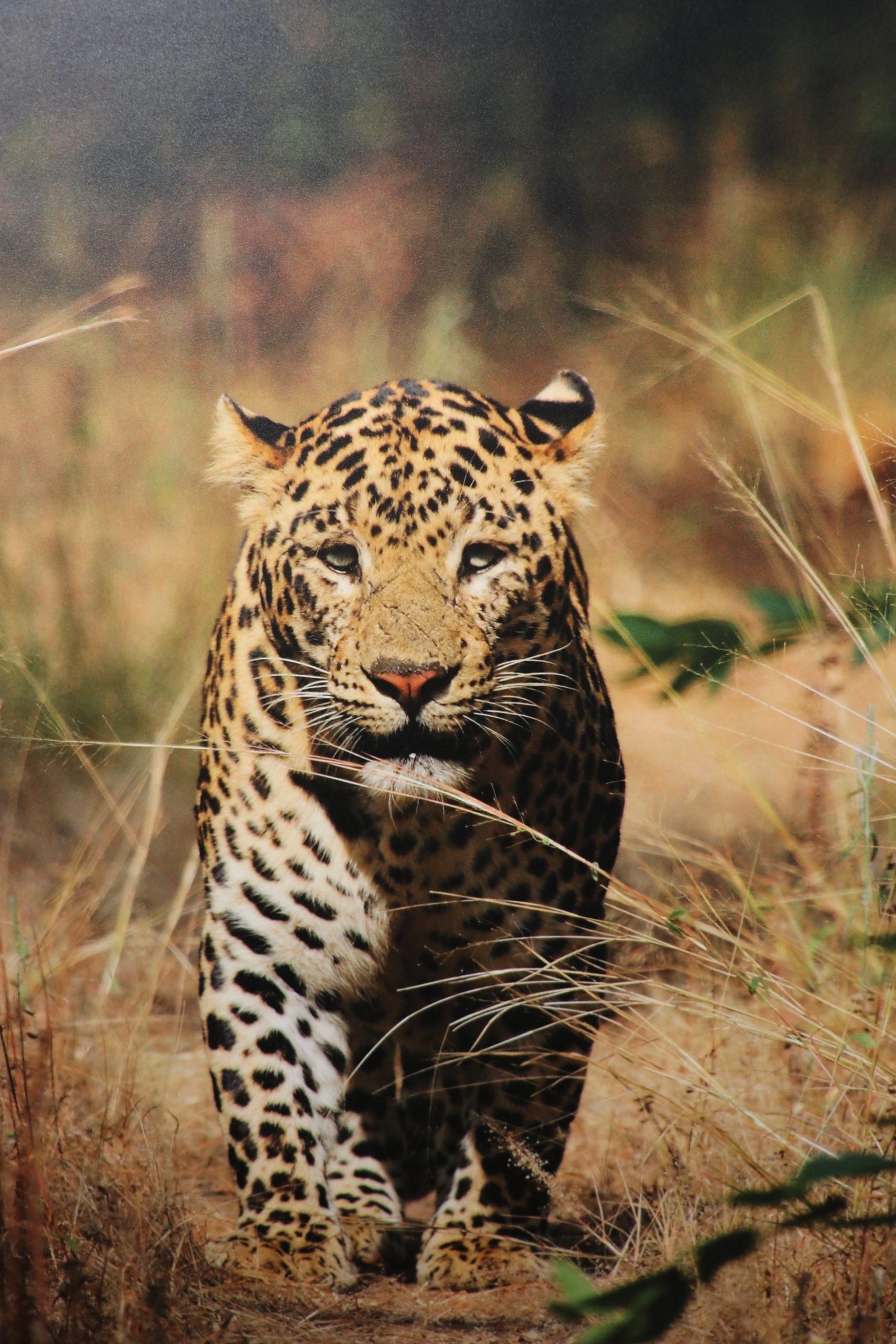 Tiger in the jungle.