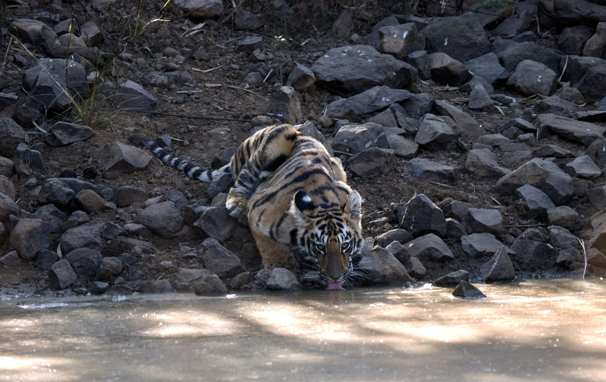 Tiger Cub Drinking Water