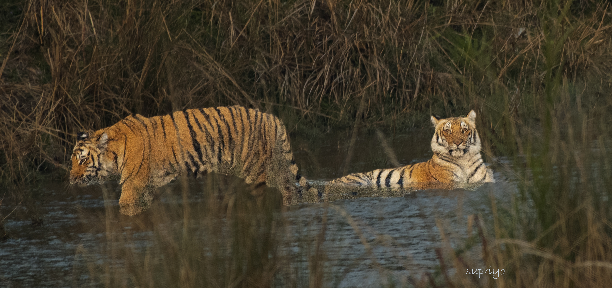 Tiger relaxing in the water
