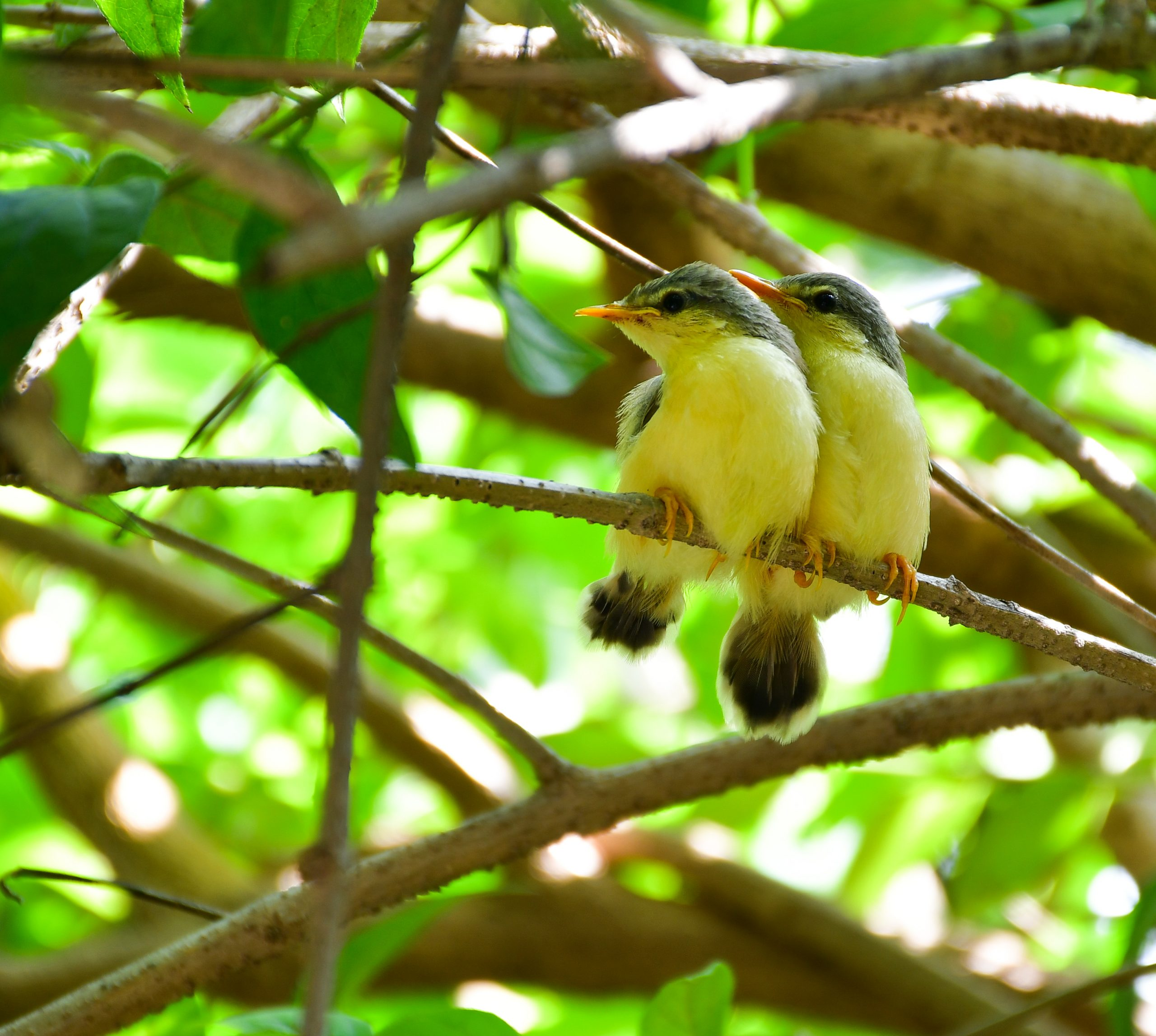 Two Ashy Prinia fledgling babies in sync