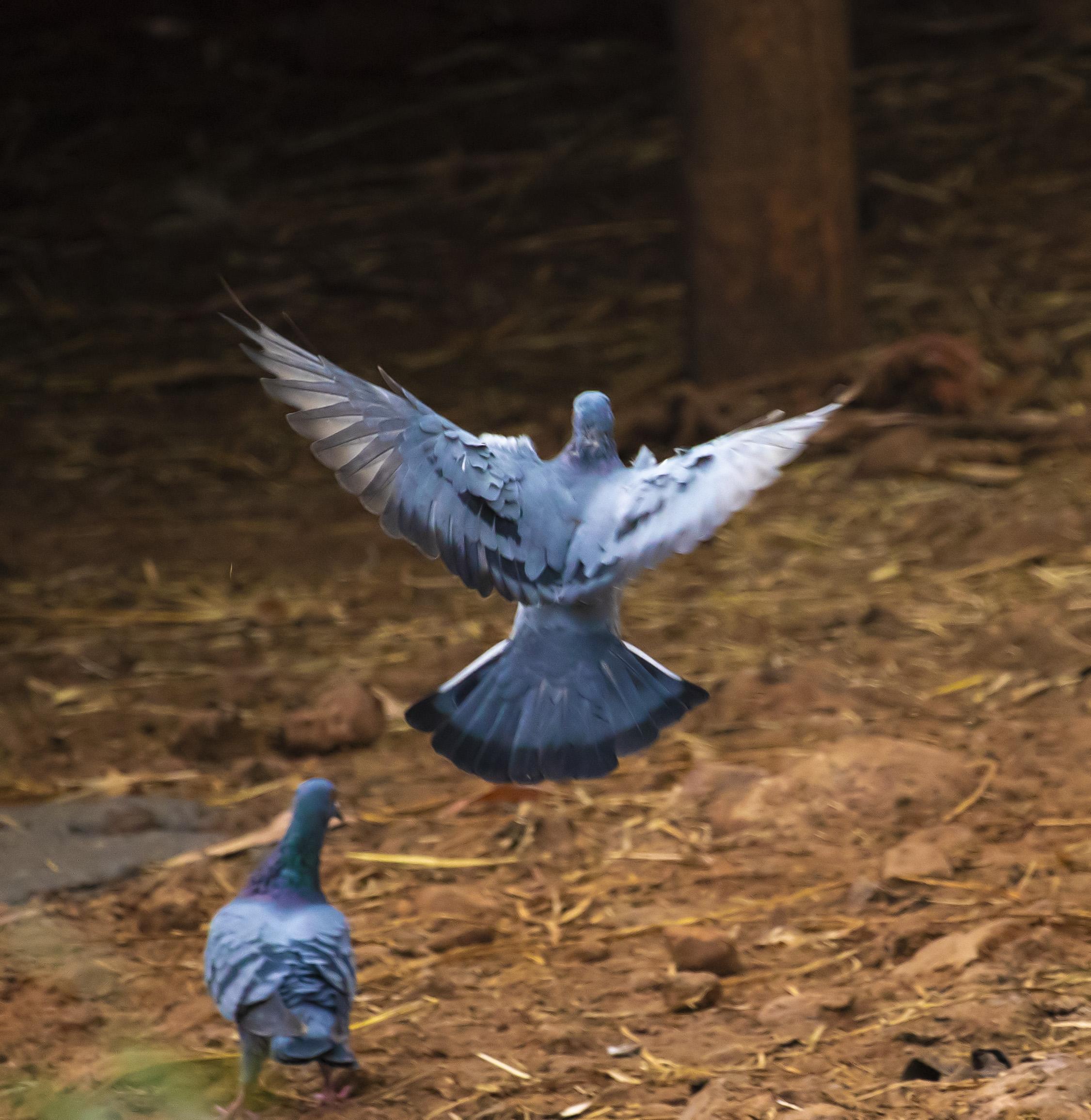 Two Pigeon Bird