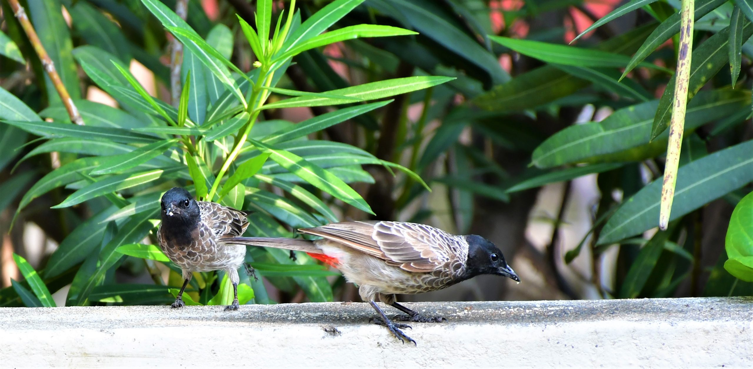 Two bulbul birds eating