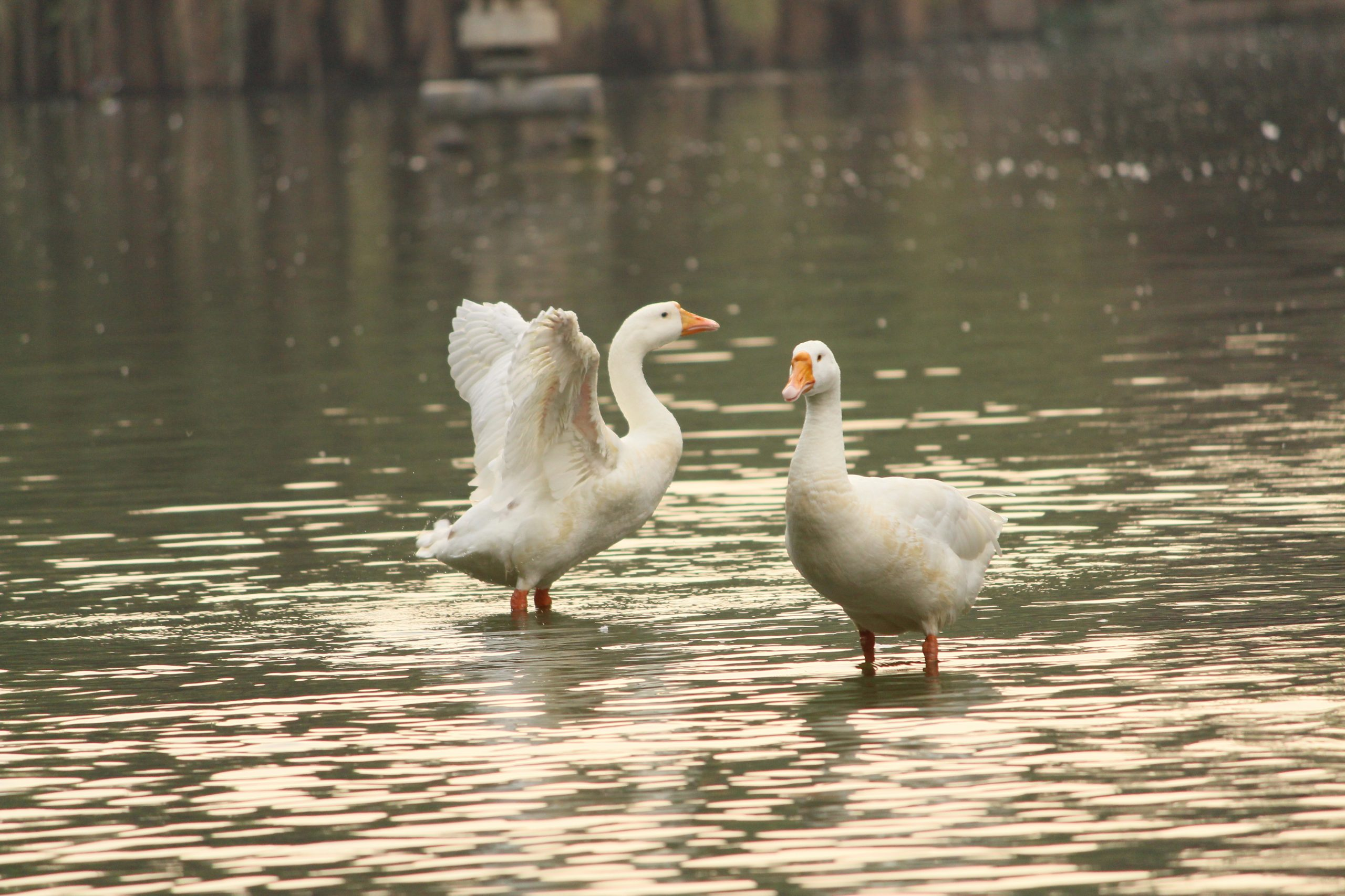 Two ducks swimming and waving their wings in water