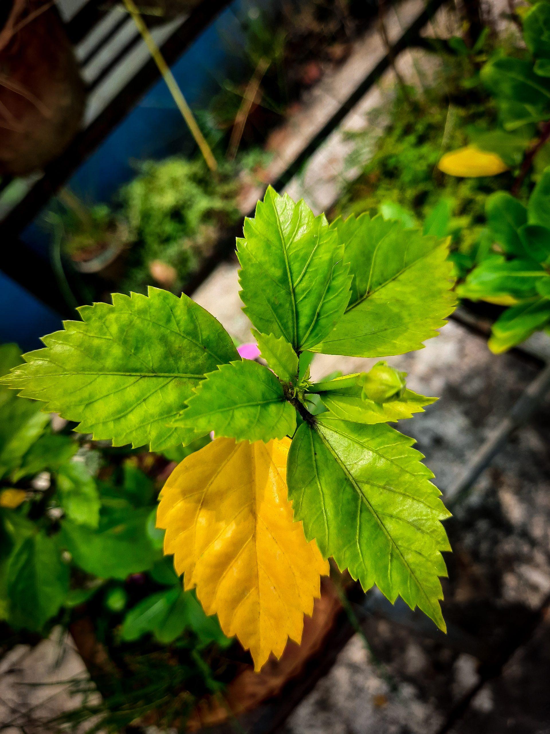 hibiscus leaves