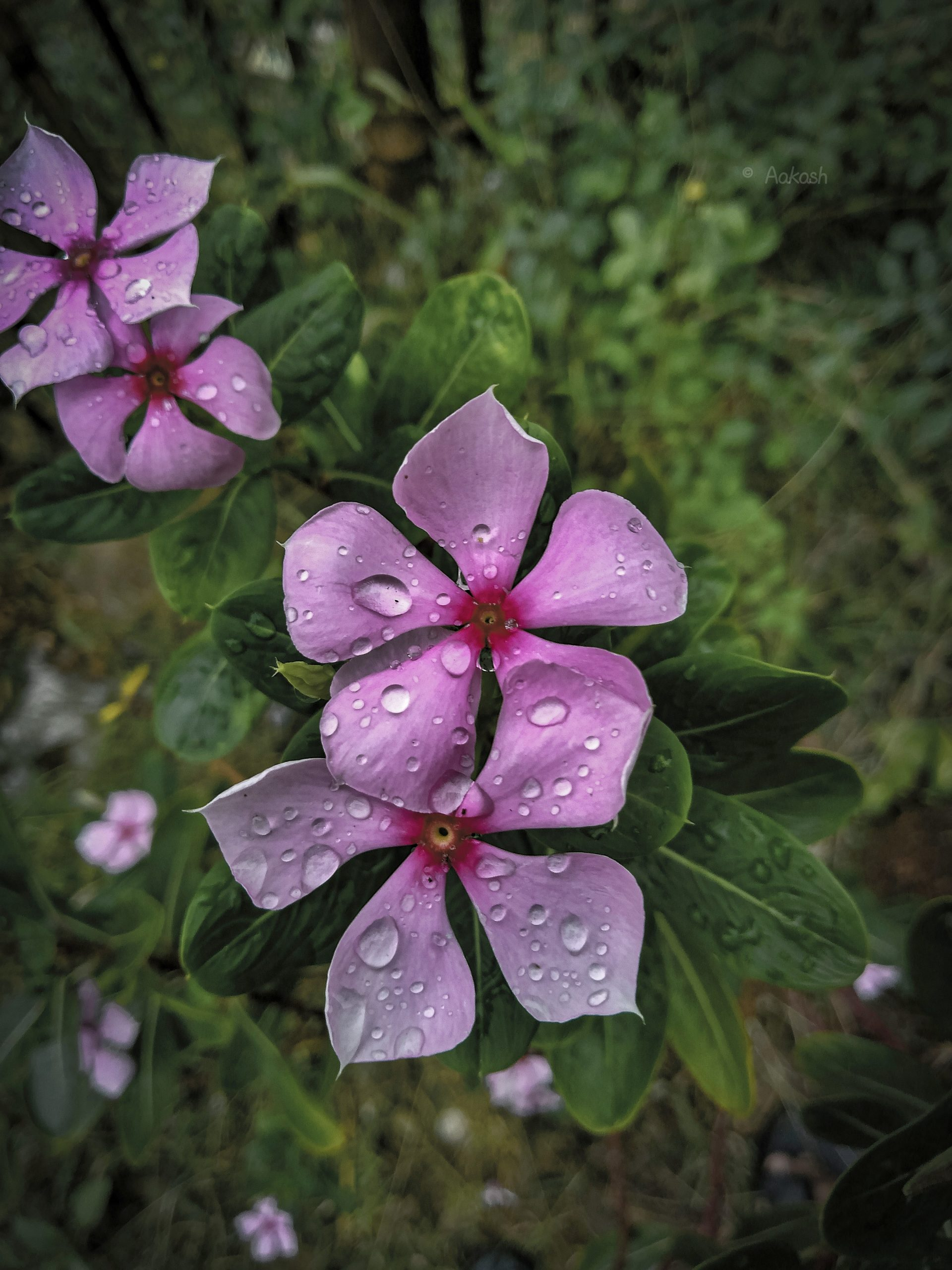 Vinca Rosea flowers