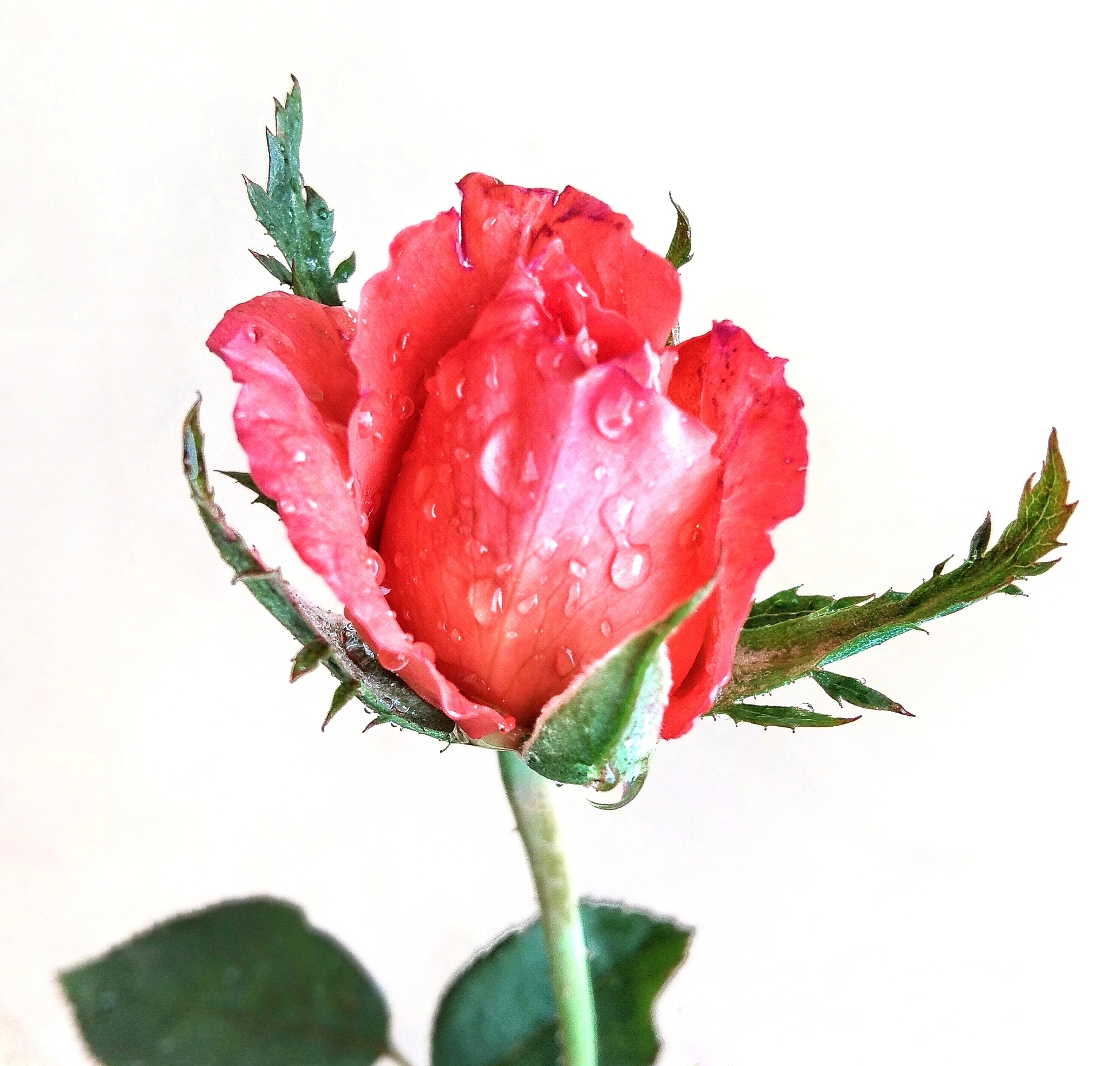 Water droplets on rose flower