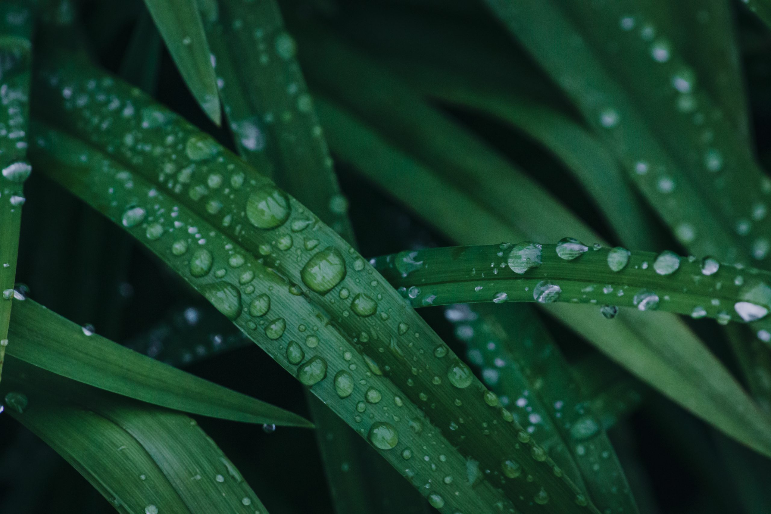 Water drops on grass leaves