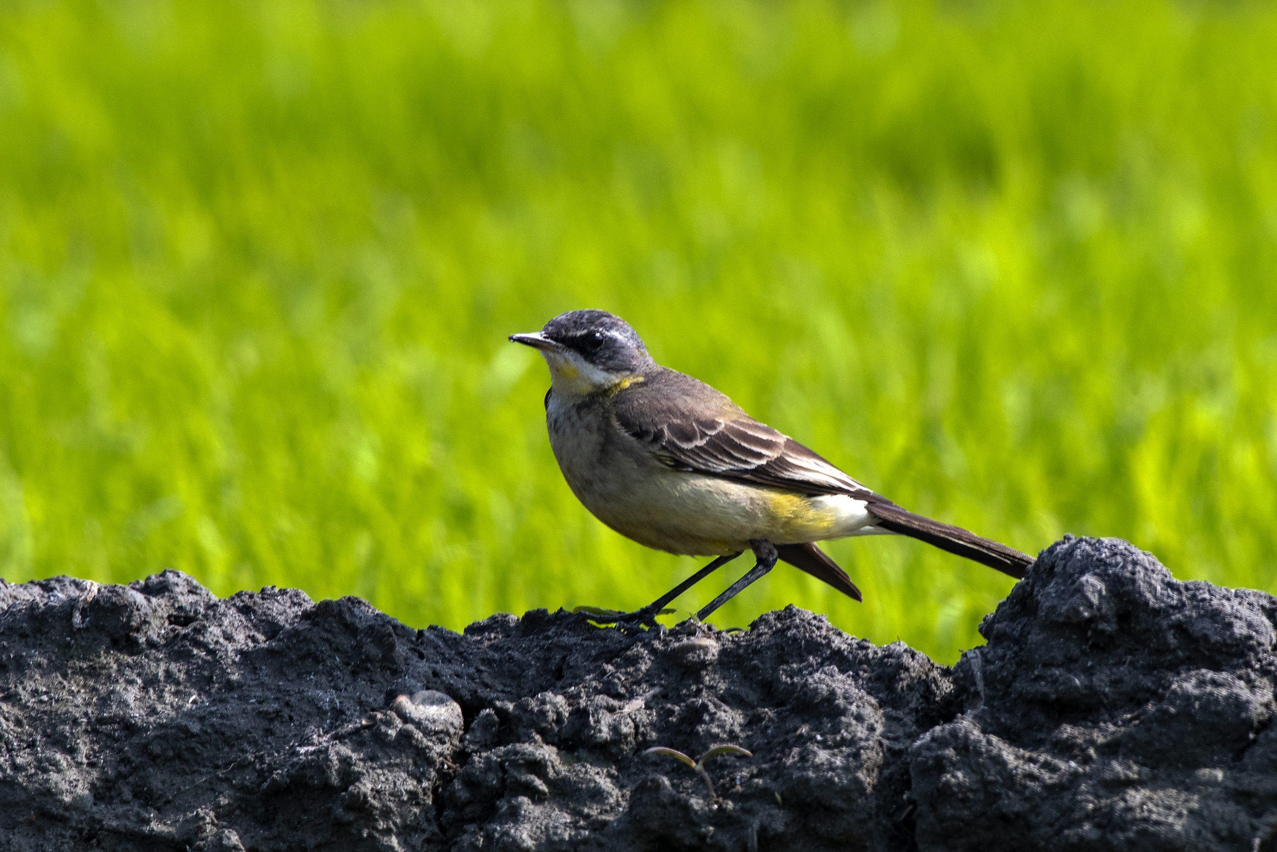 Western Yellow wagtail bird