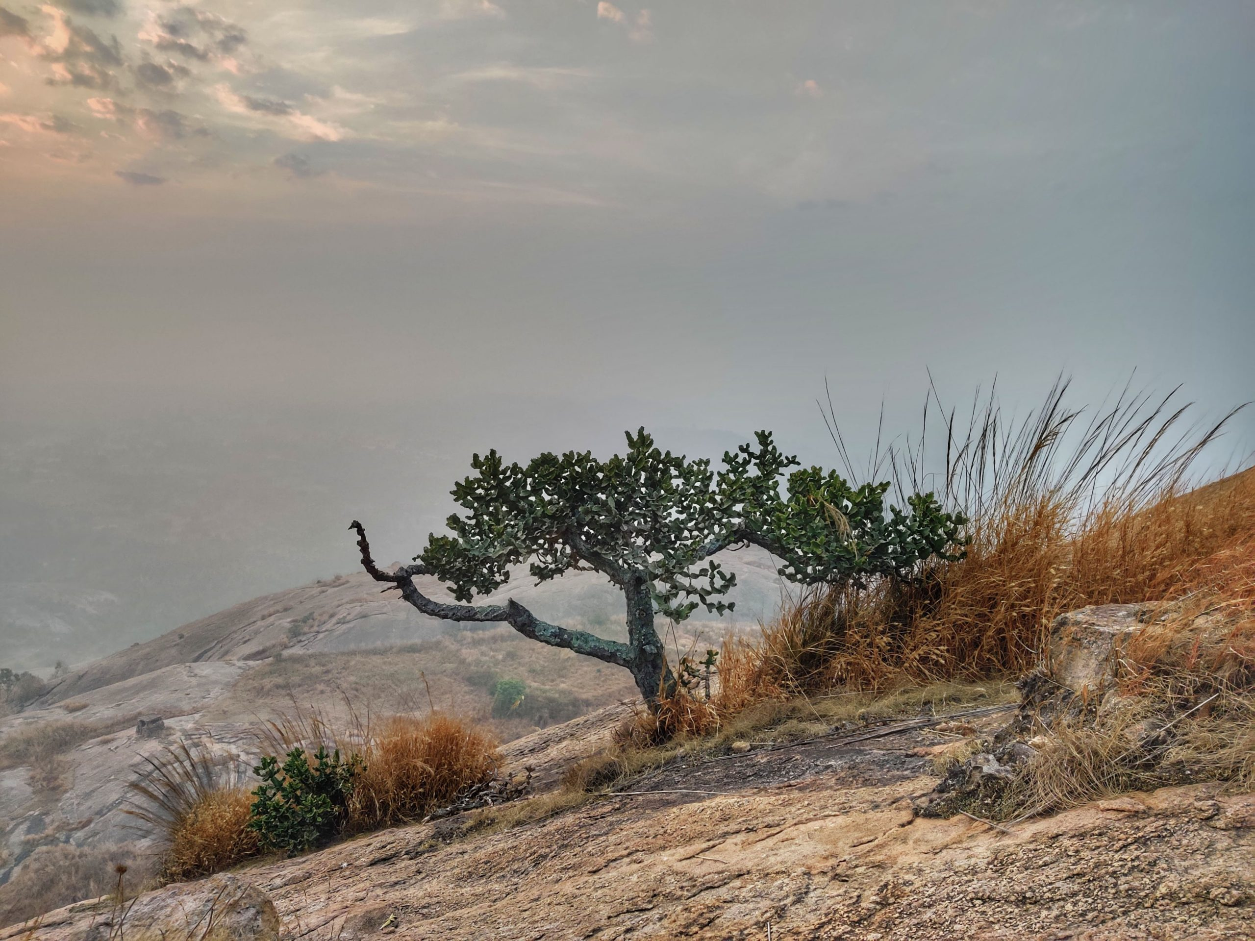 Western juniper on Hilltop