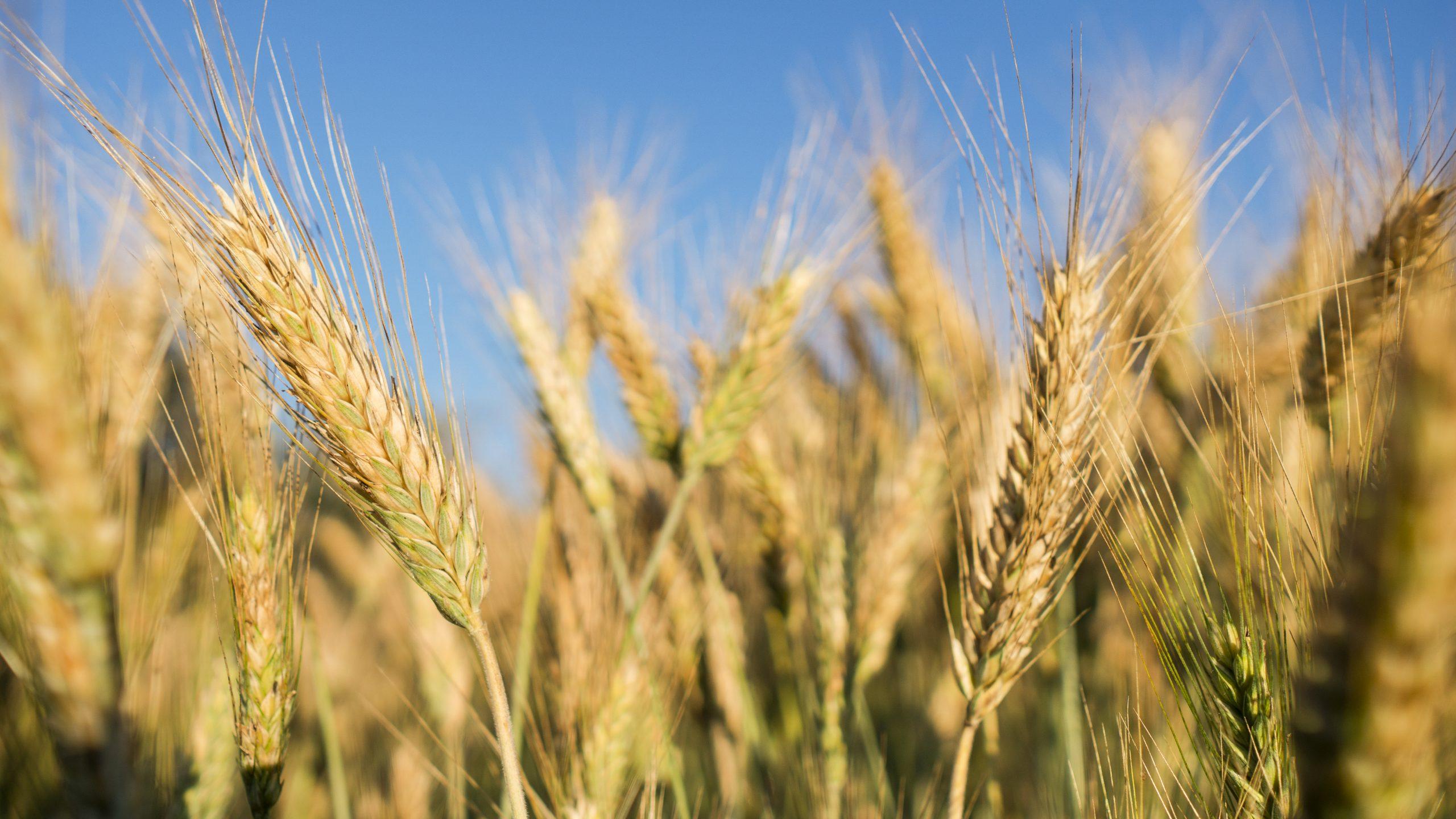 Wheat field. Close up ears of wheat.