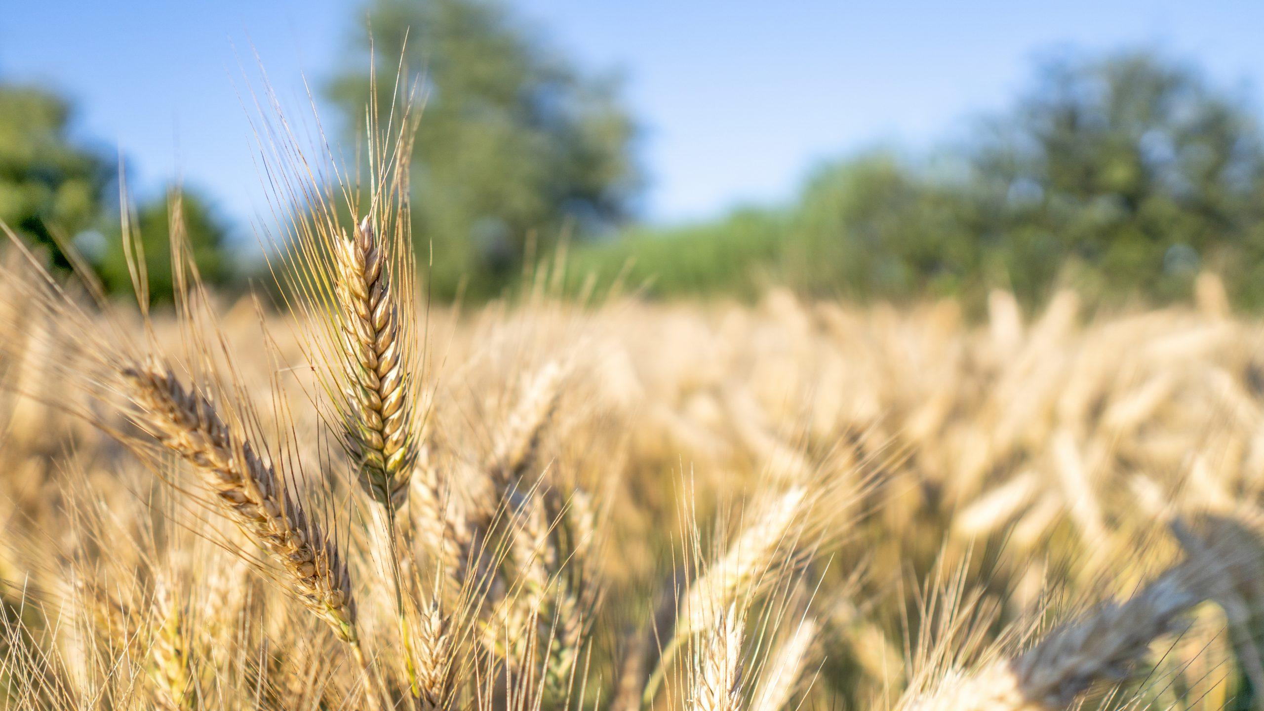 Wheat field on the Farm