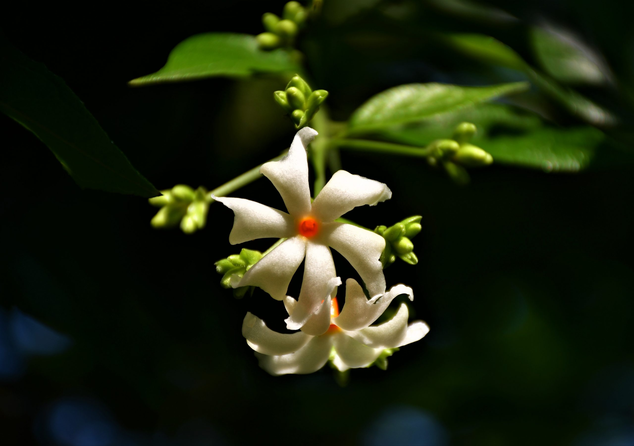 White flower of Night-Flowering Plant